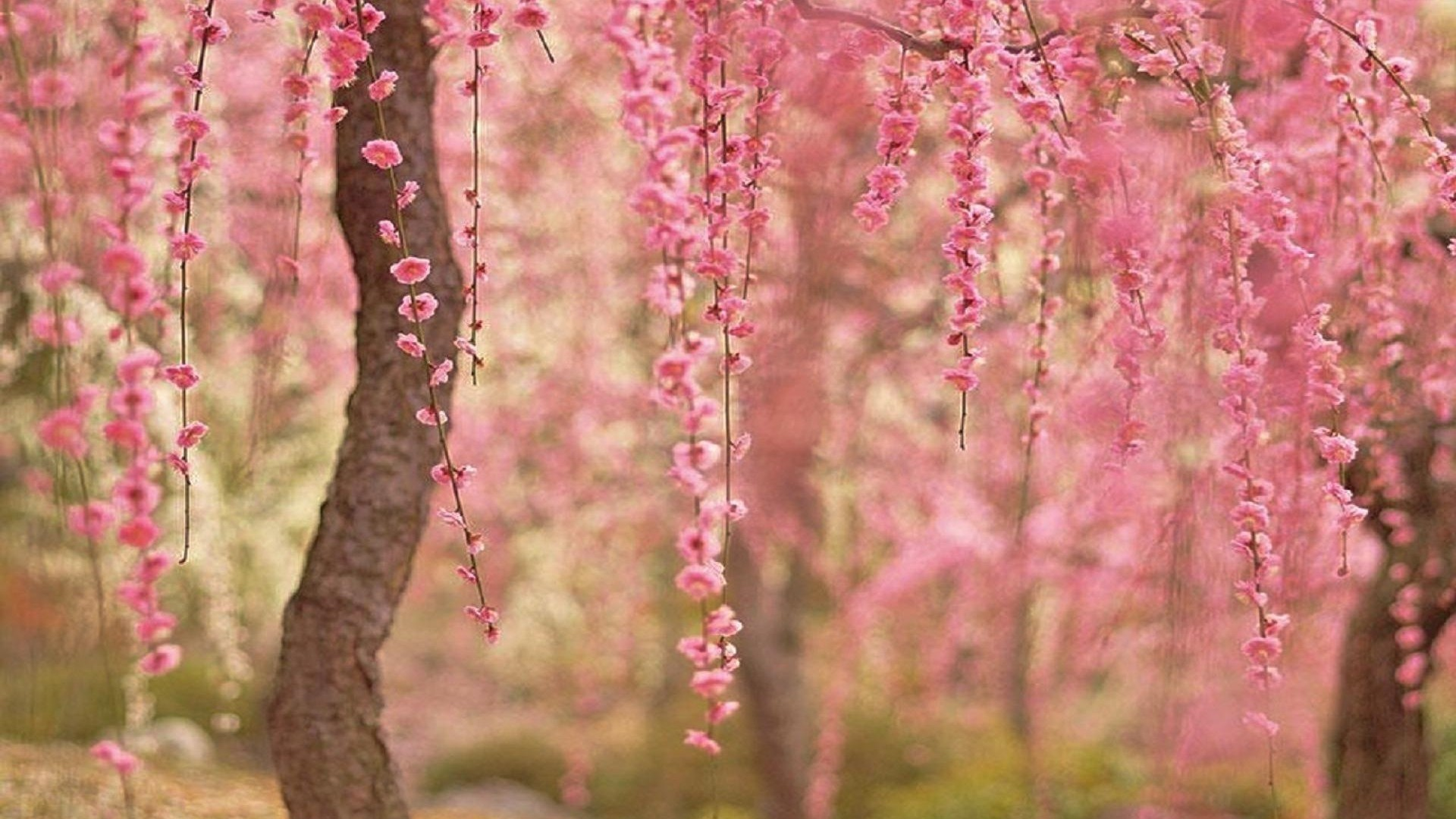 cherry blossom background 68 images
