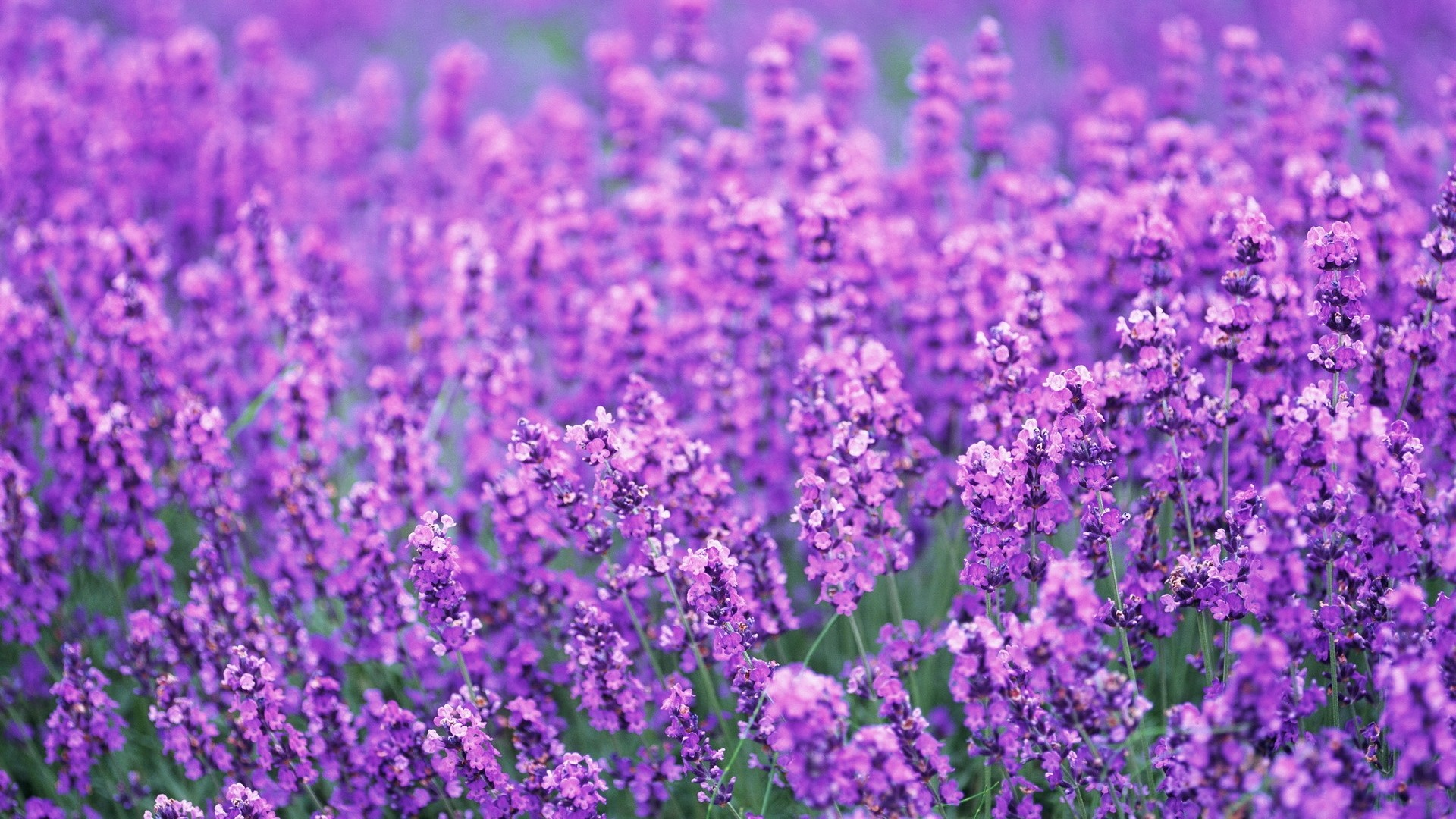1920x1080 lavender, flowers, field