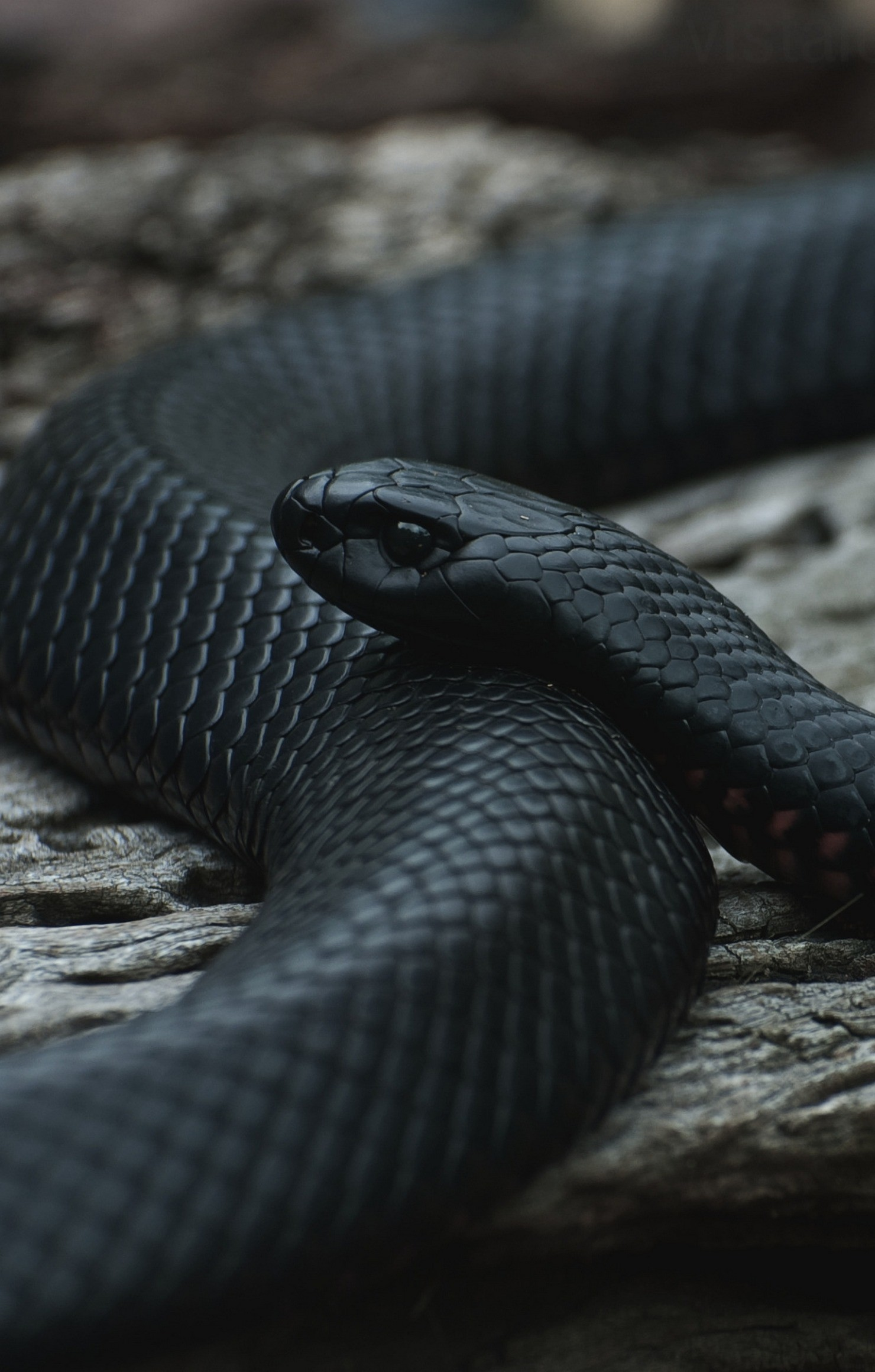 1480x2320 Snake Black Macro Retina Wallpaper