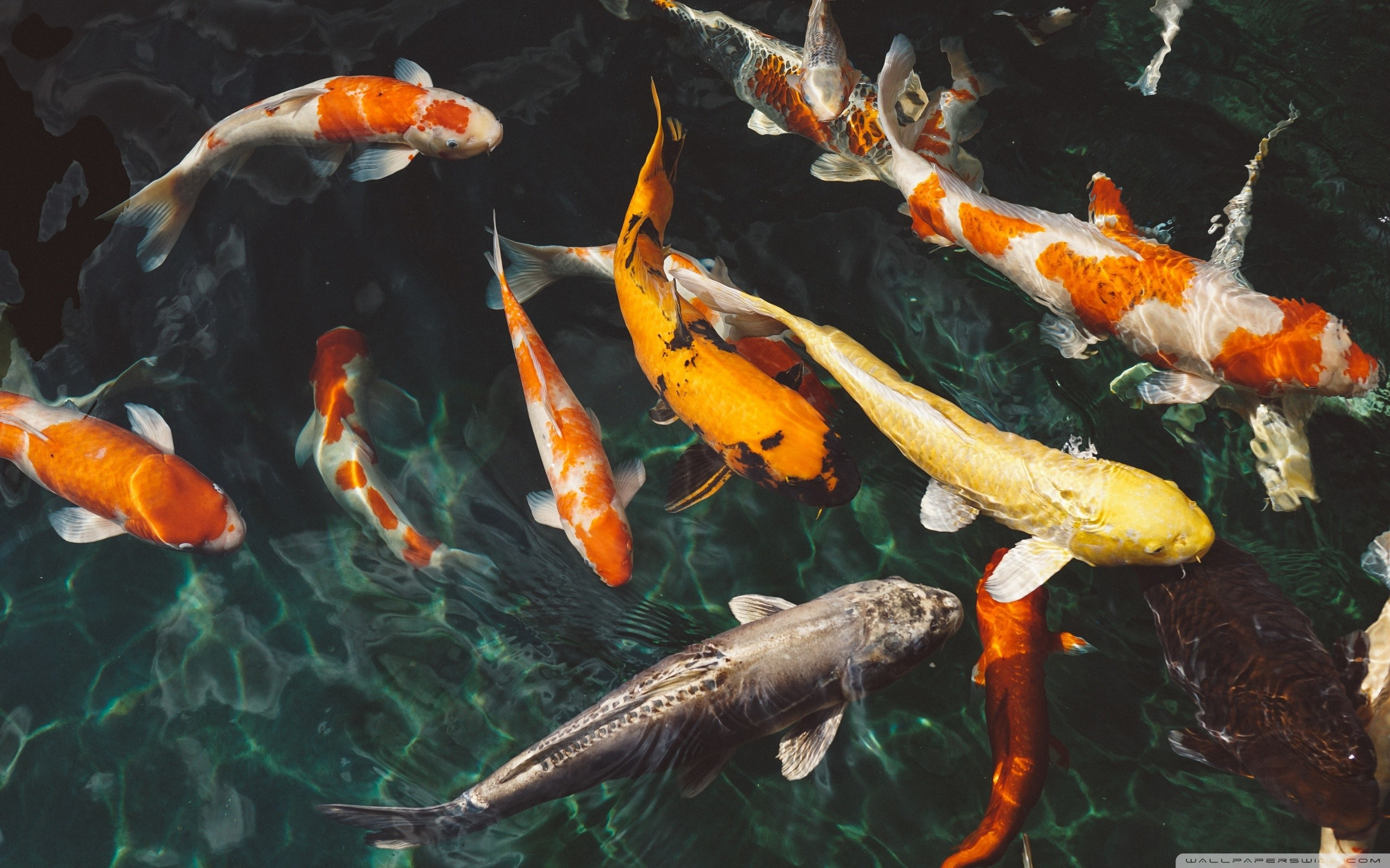 2560x1600 Koi Fish Pond Wallpapers, Koi Fish Pond Image Galleries, 50 | W