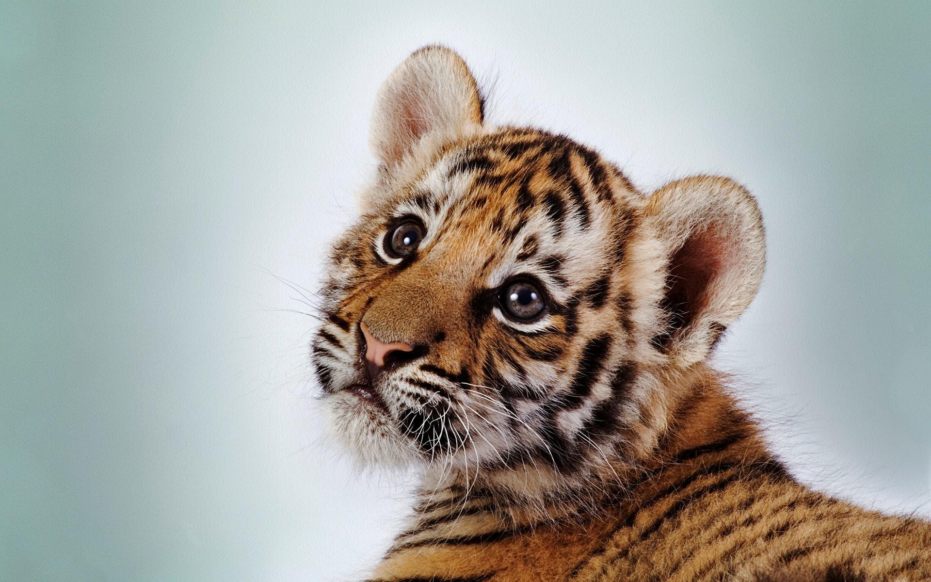 baby tiger wallpaper  Cute Baby Tiger Wallpaper (68  images)