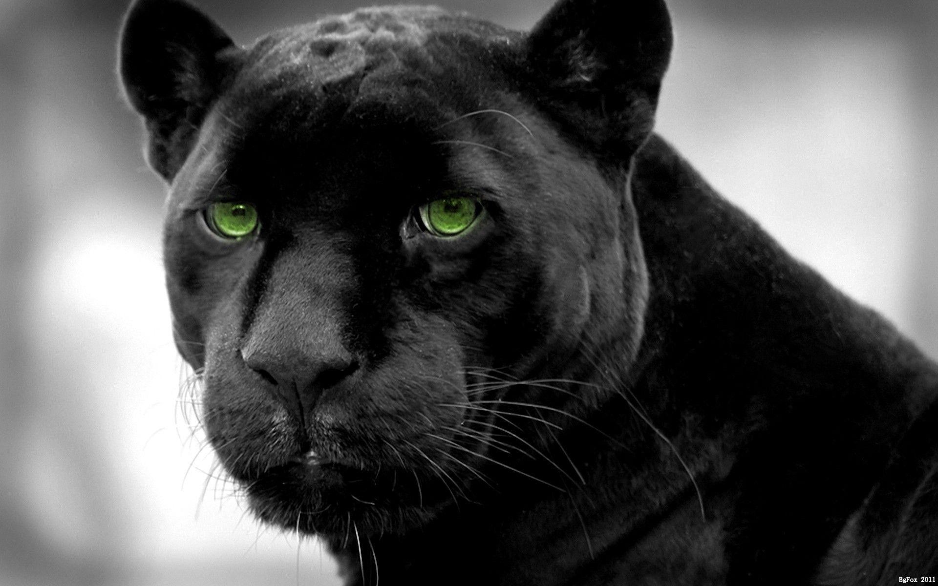 Panther Wallpaper 71 Images