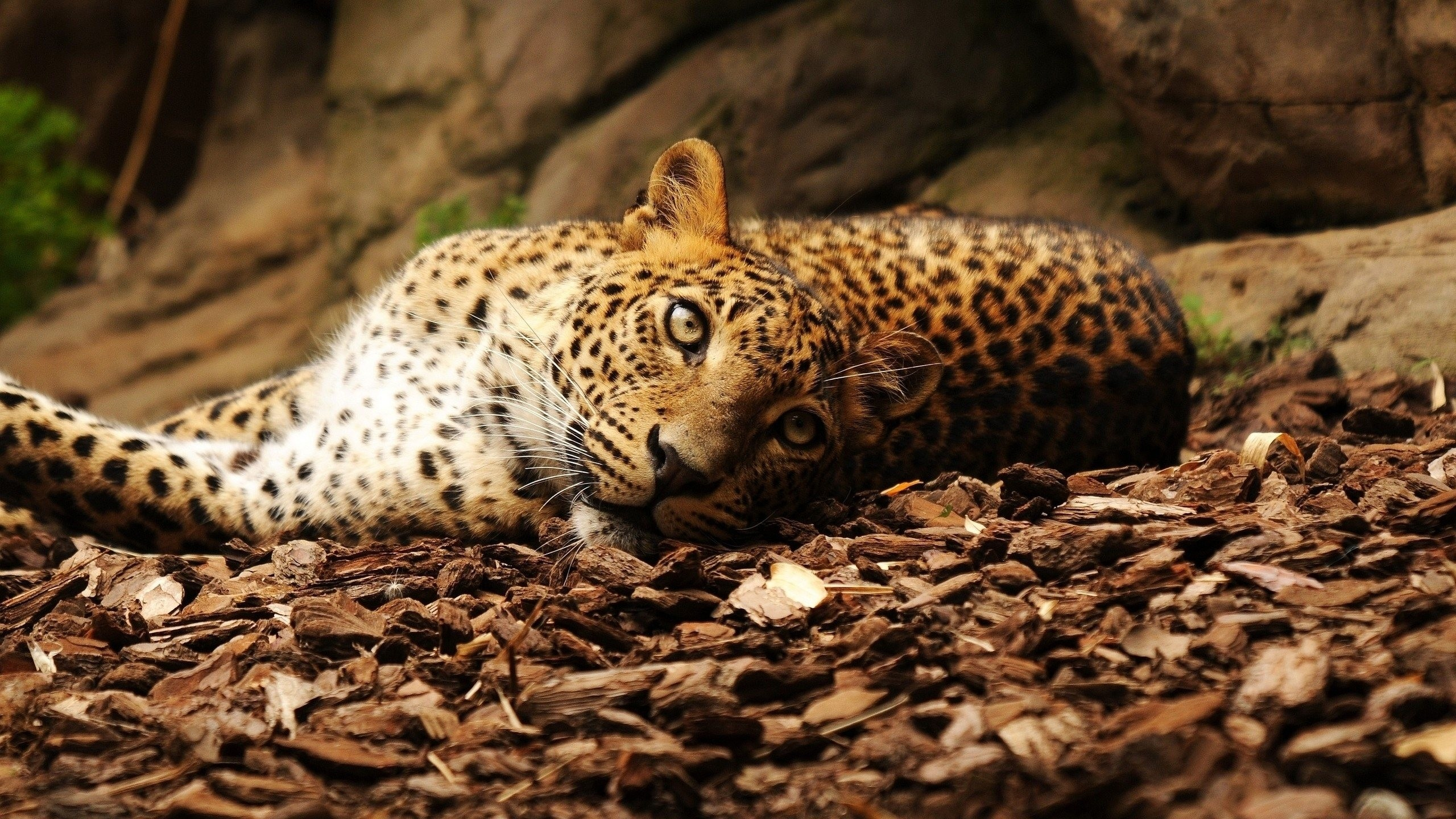 2560x1440  Wallpaper jaguar, foliage, big cat, spotted