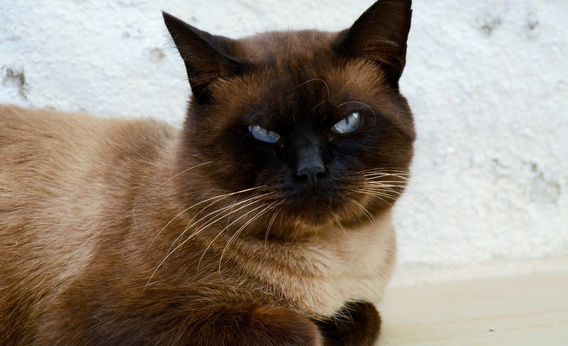 1920x1171 Siamese Cat, Angry Expression, Cats