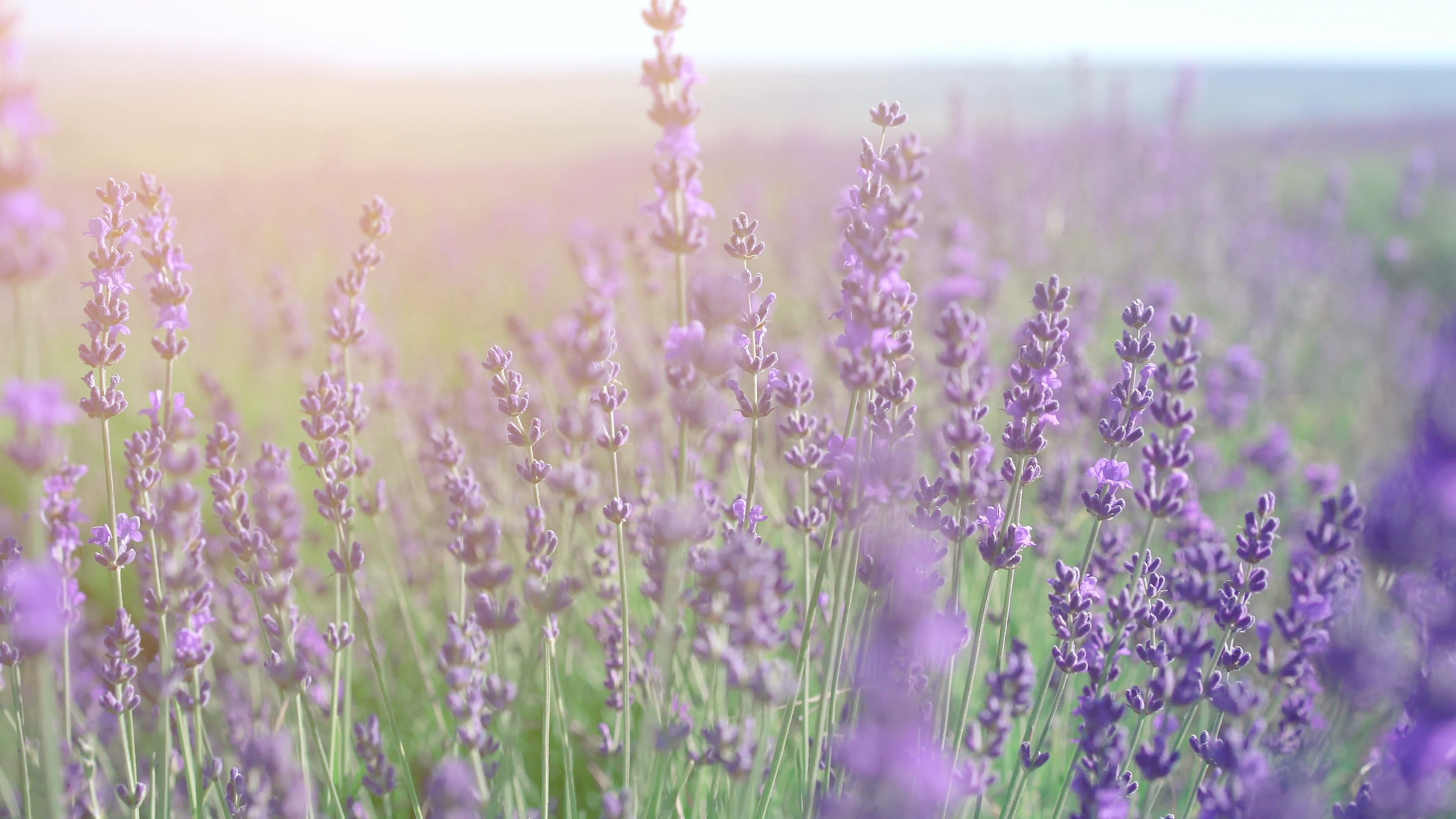 3840x2160 Lavender field in Crimea. Lavandula flowers swaying