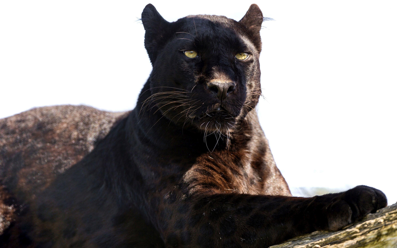 Black Panther Animal 4k Wallpapers For Mobile: Black Panther Marvel HD Wallpaper (73+ Images