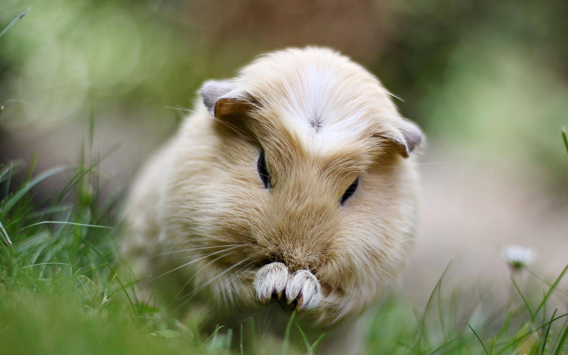1920x1200 Guinea Pig HD Wallpaper Super Cute Wallpaper
