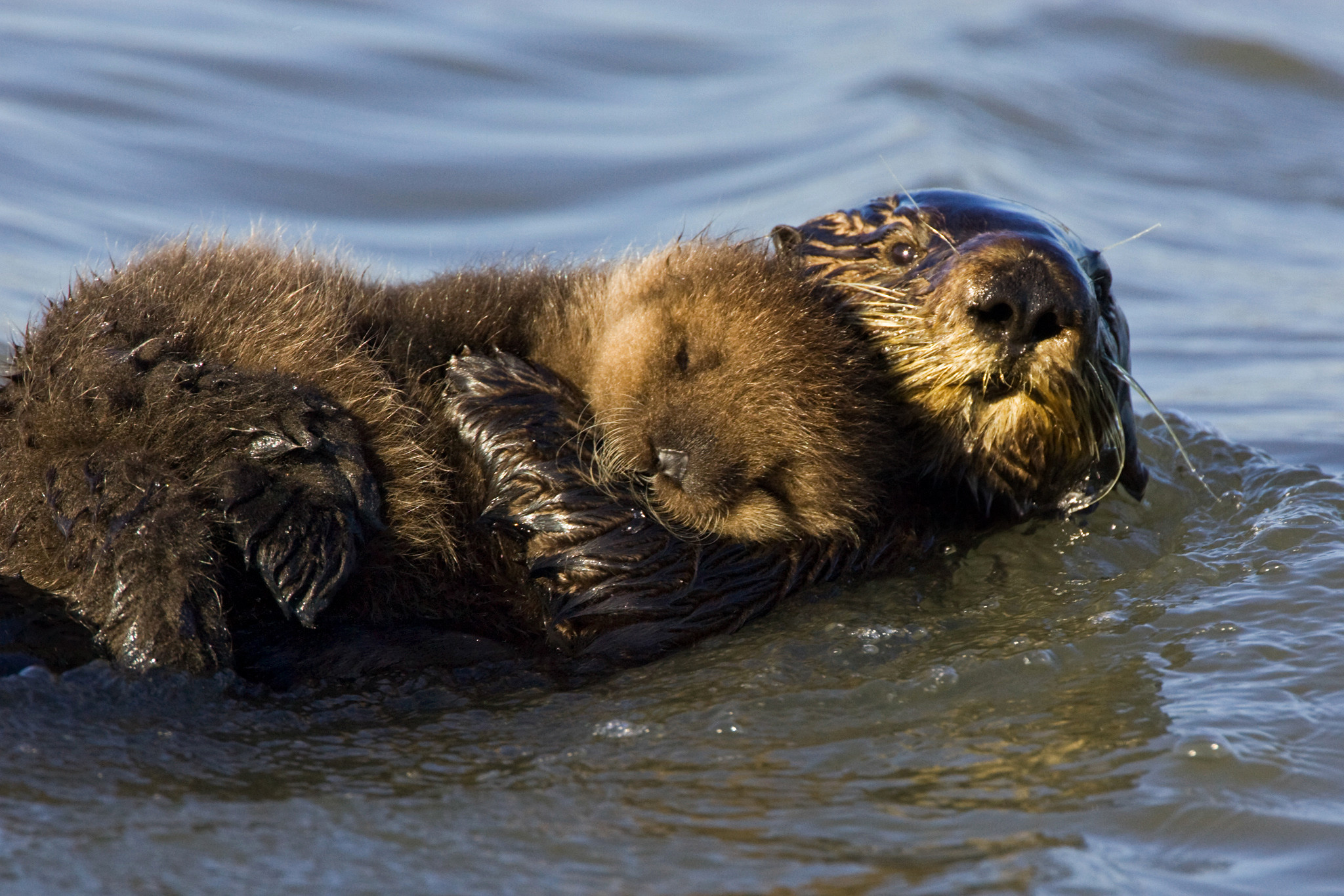 Sea Otter Wallpaper 52 Images