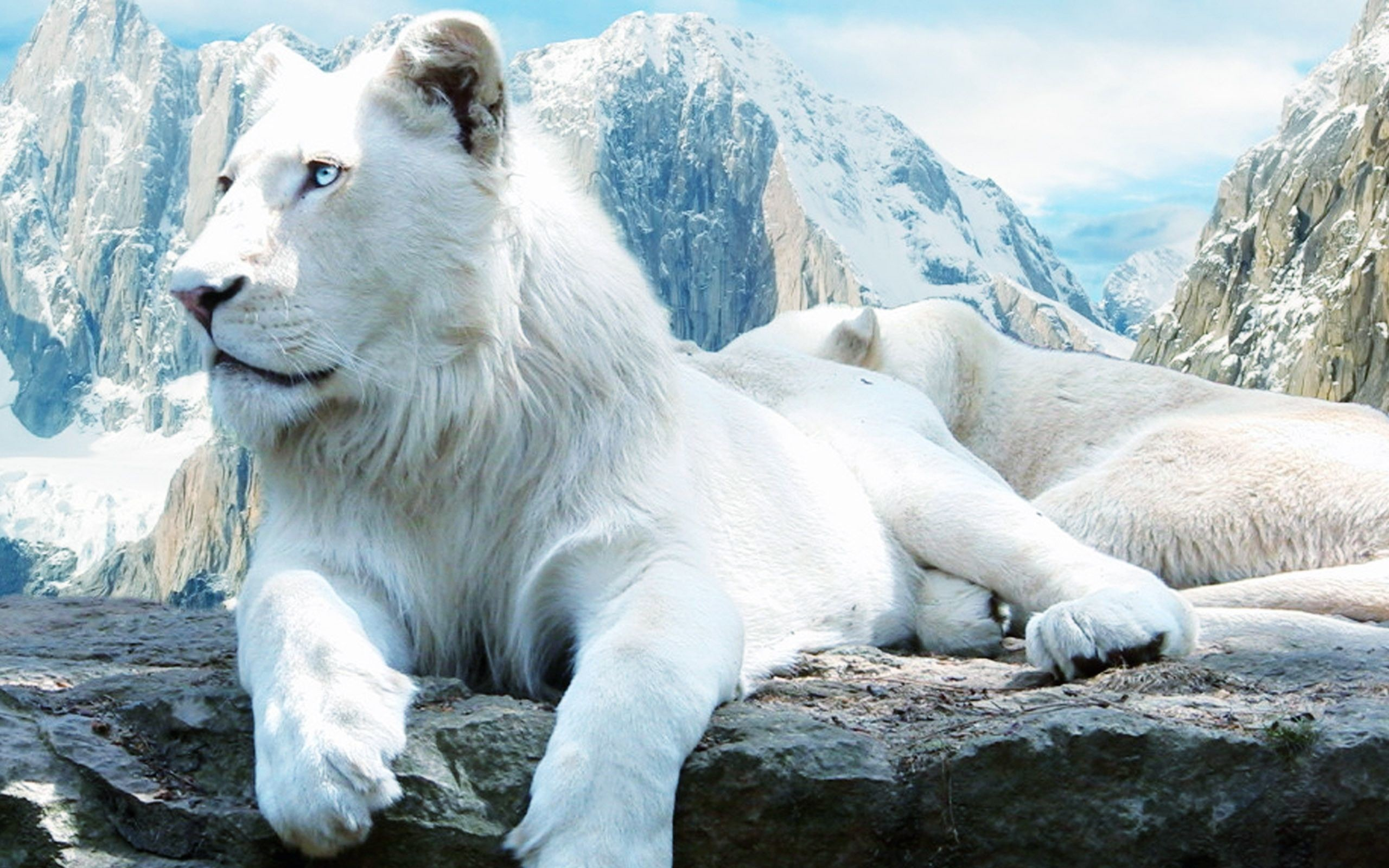 White Lion Wallpapers 66 Images