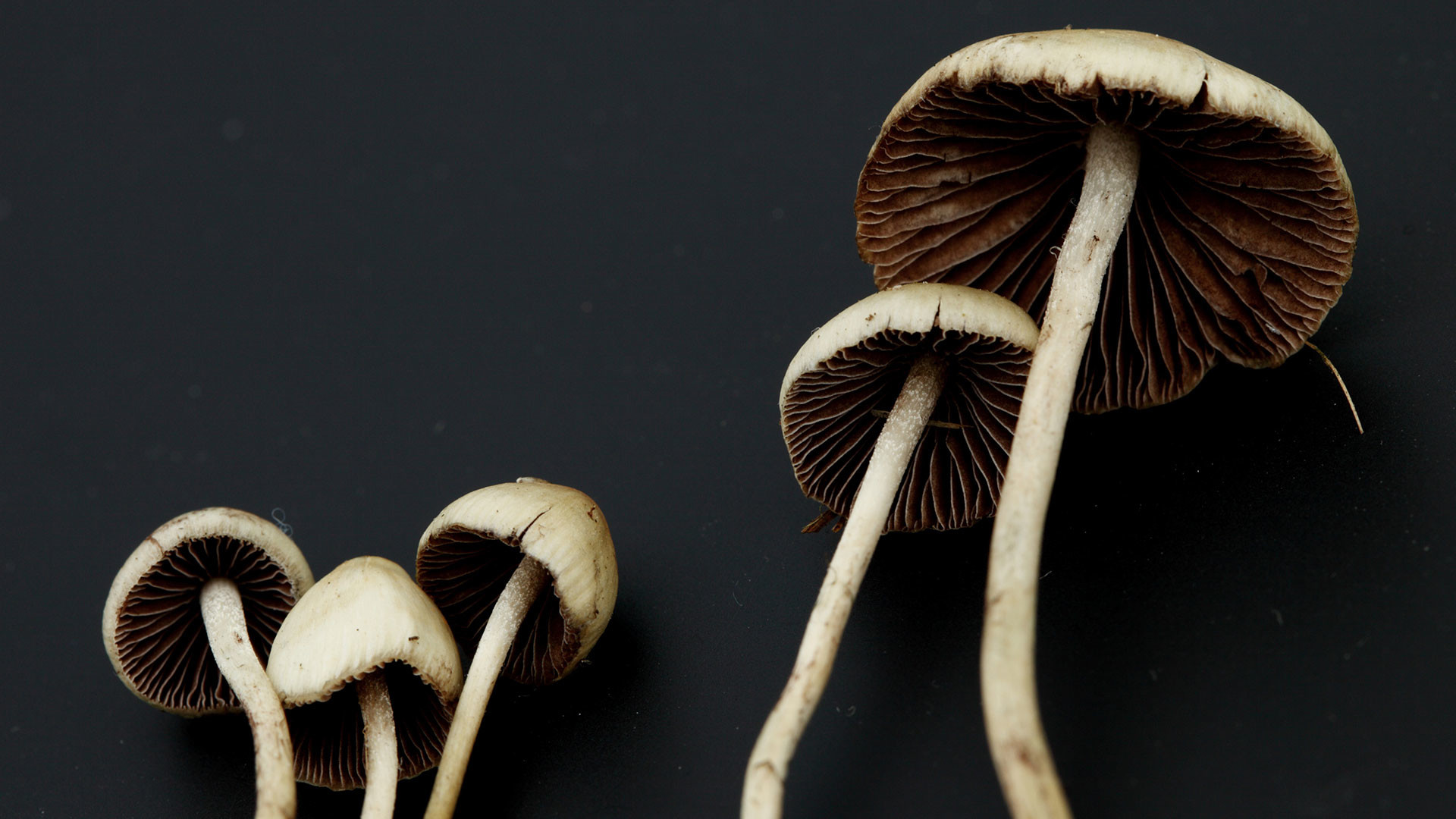 1920x1080 Trying to quit smoking? Magic mushrooms might help