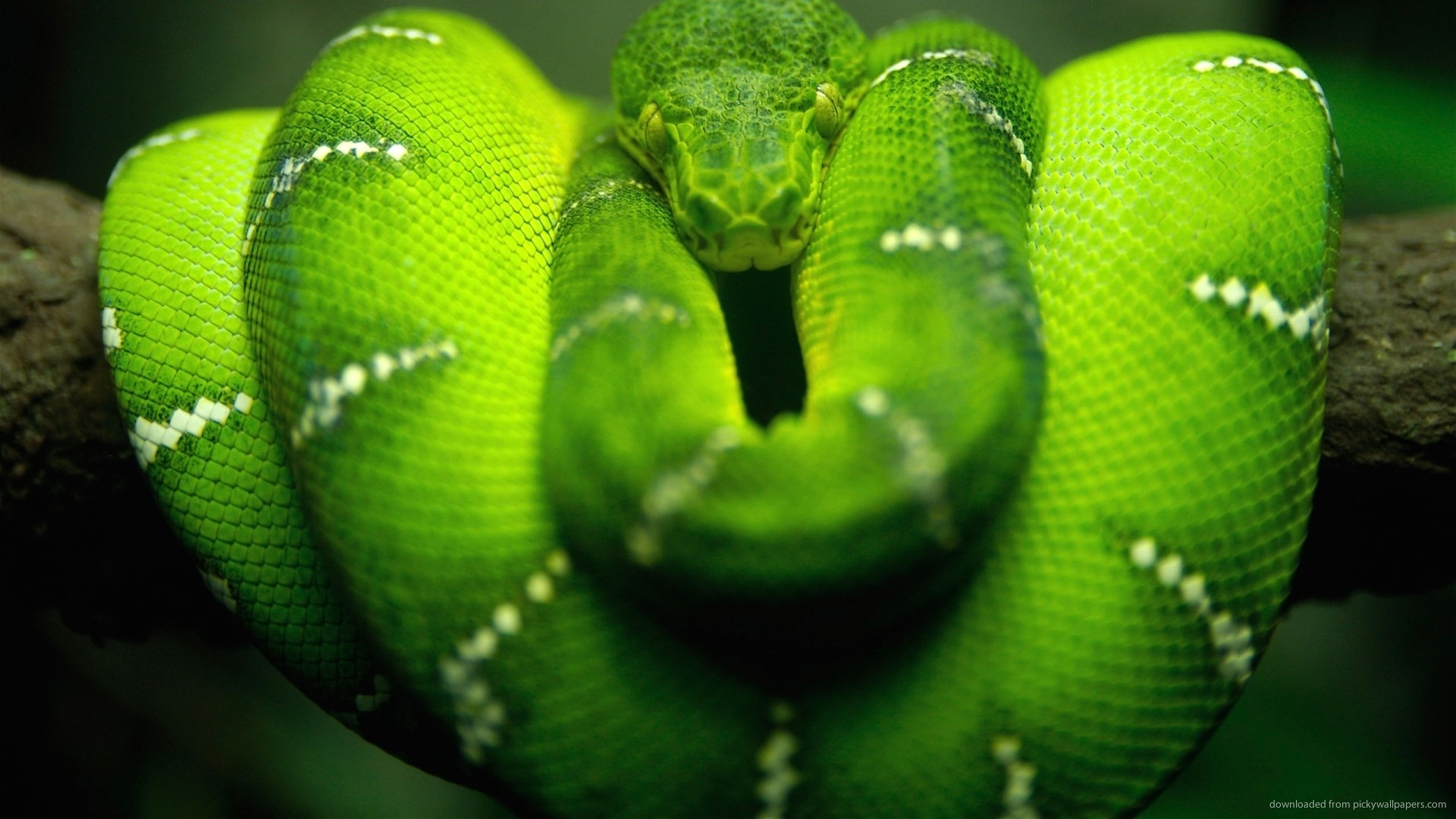 1920x1080 Awesome green snake for