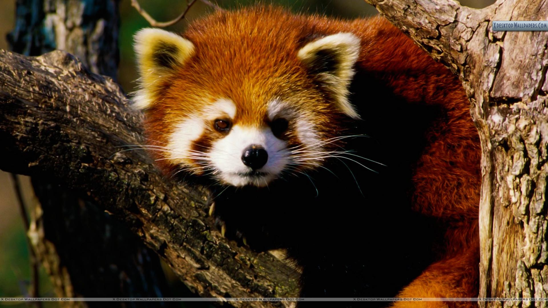 "1920x1080 You are viewing wallpaper titled ""Red Panda ..."