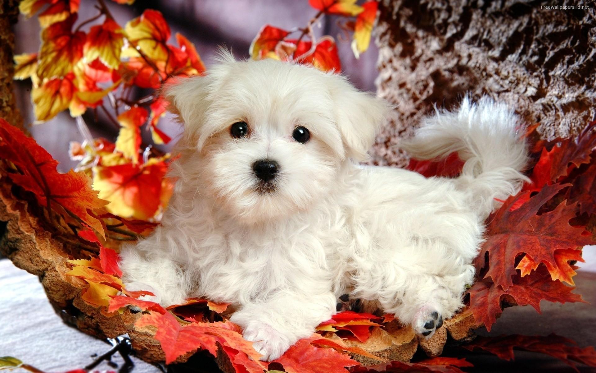 Cute white puppy wallpaper download