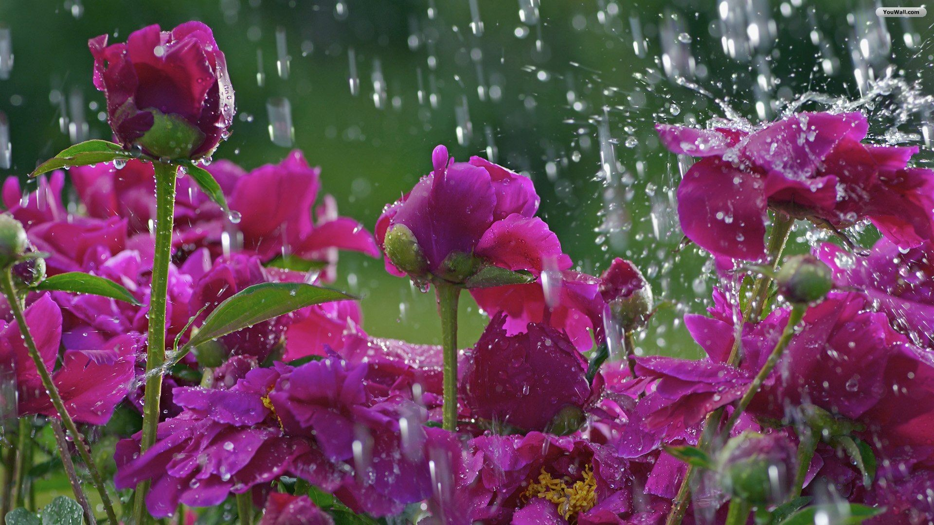 1920x1080 Spring Rain Wallpapers High Definition