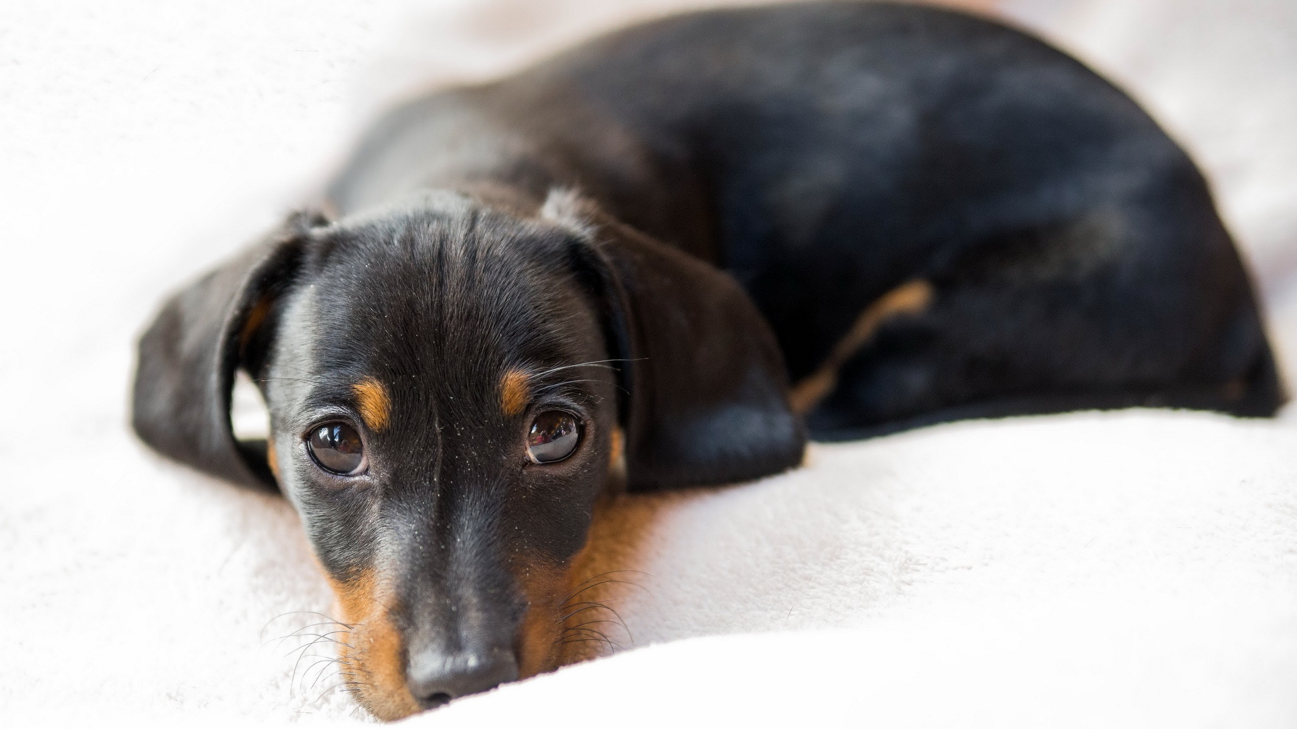 2560x1440 Animals / Dachshund dog Wallpaper