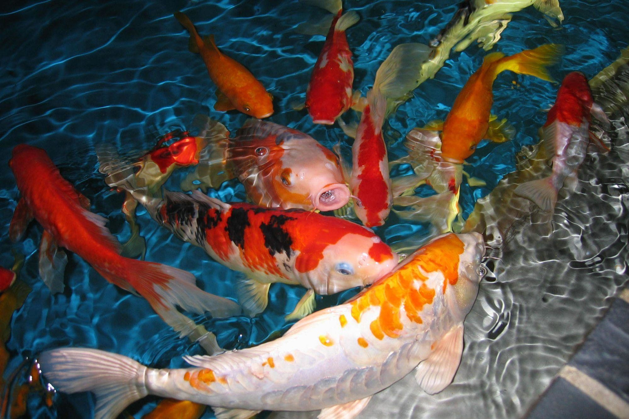 2000x1334 HD Koi Fish Wallpapers by James Giles #5