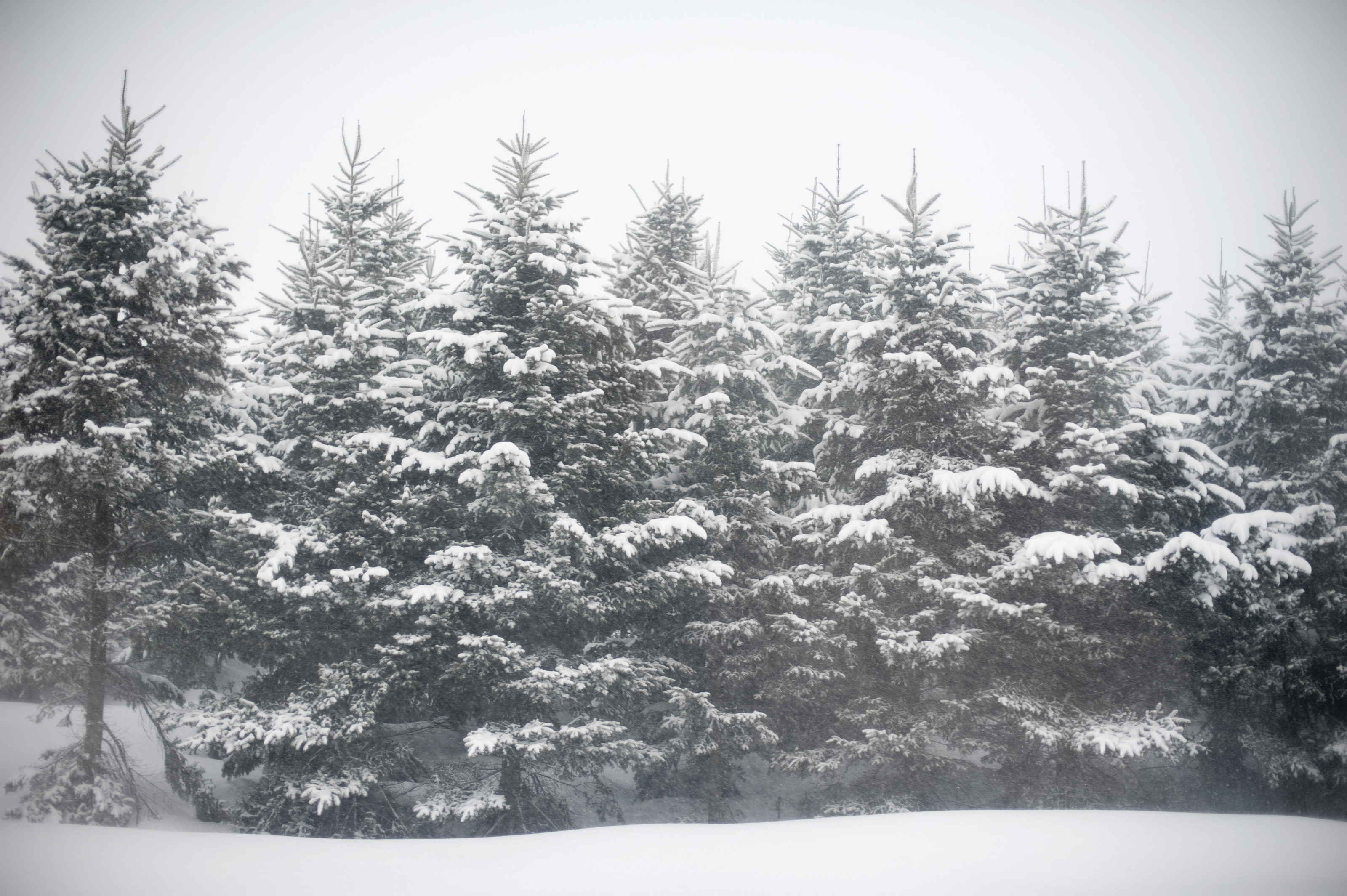 3200x2129 row of pine trees covered in falling snow