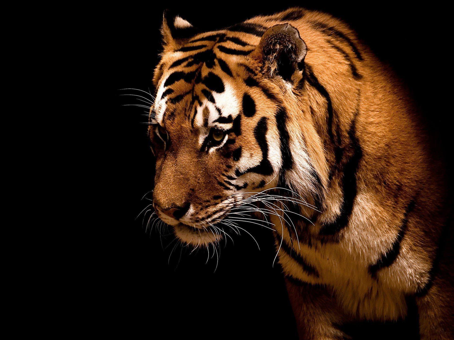 Saber Tooth Tiger Wallpaper 71 Images