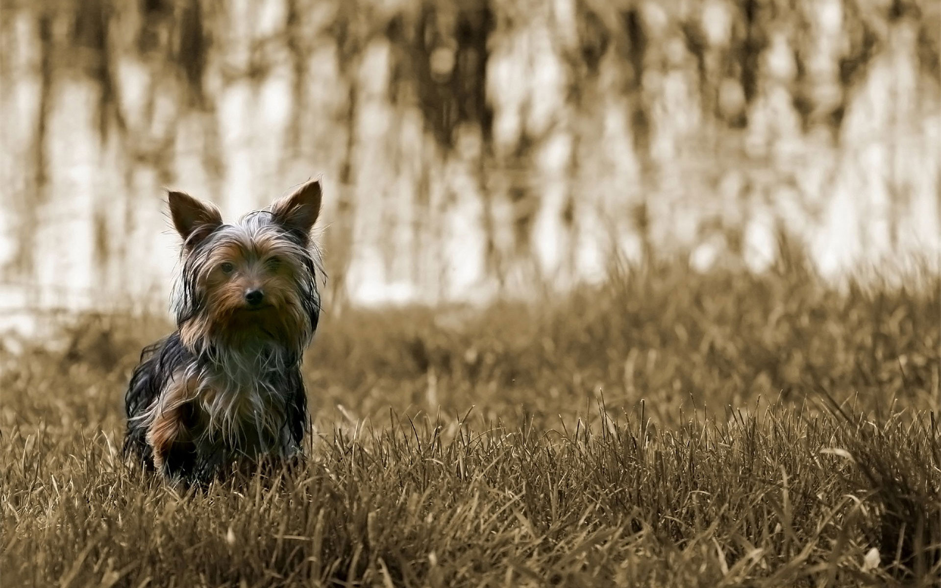 1920x1200 Yorkie Puppies Wallpaper - Wallpaper, High Definition, High Quality .