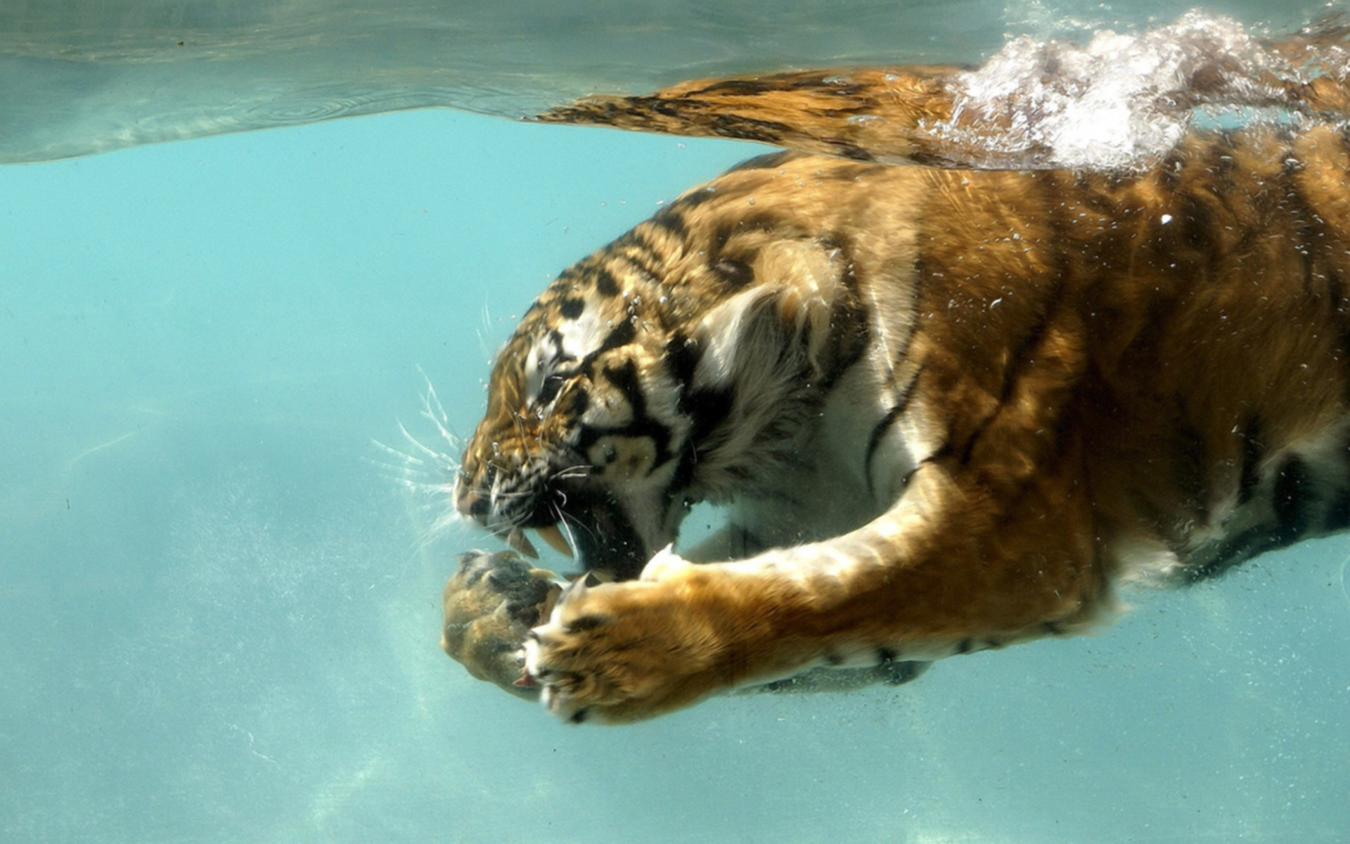 1920x1200 HD Computer Animal Wallpaper | tiger in water desktop wallpaper backgrounds  not just for your desktop