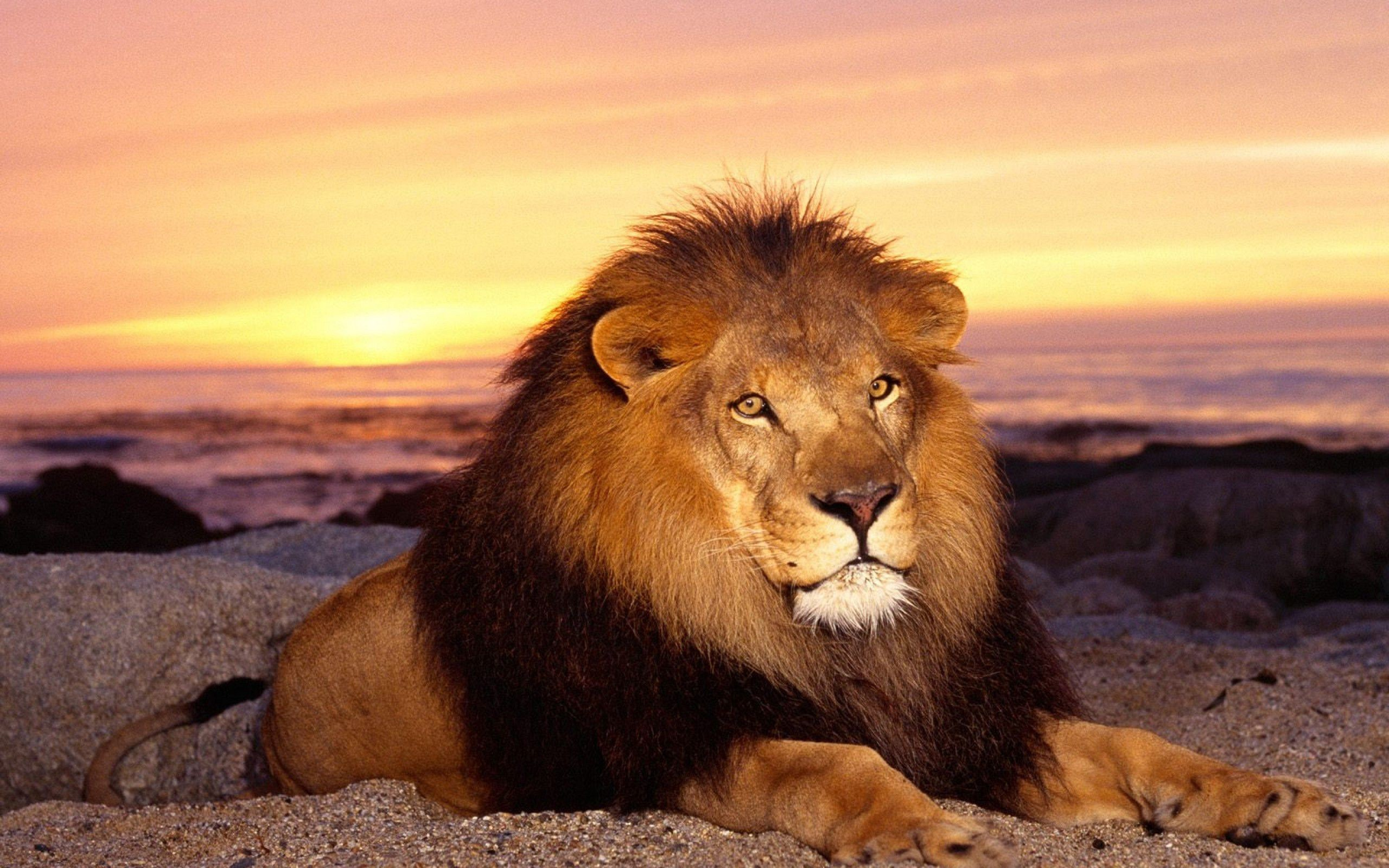 2560x1600 cool lion wallpapers GRS13