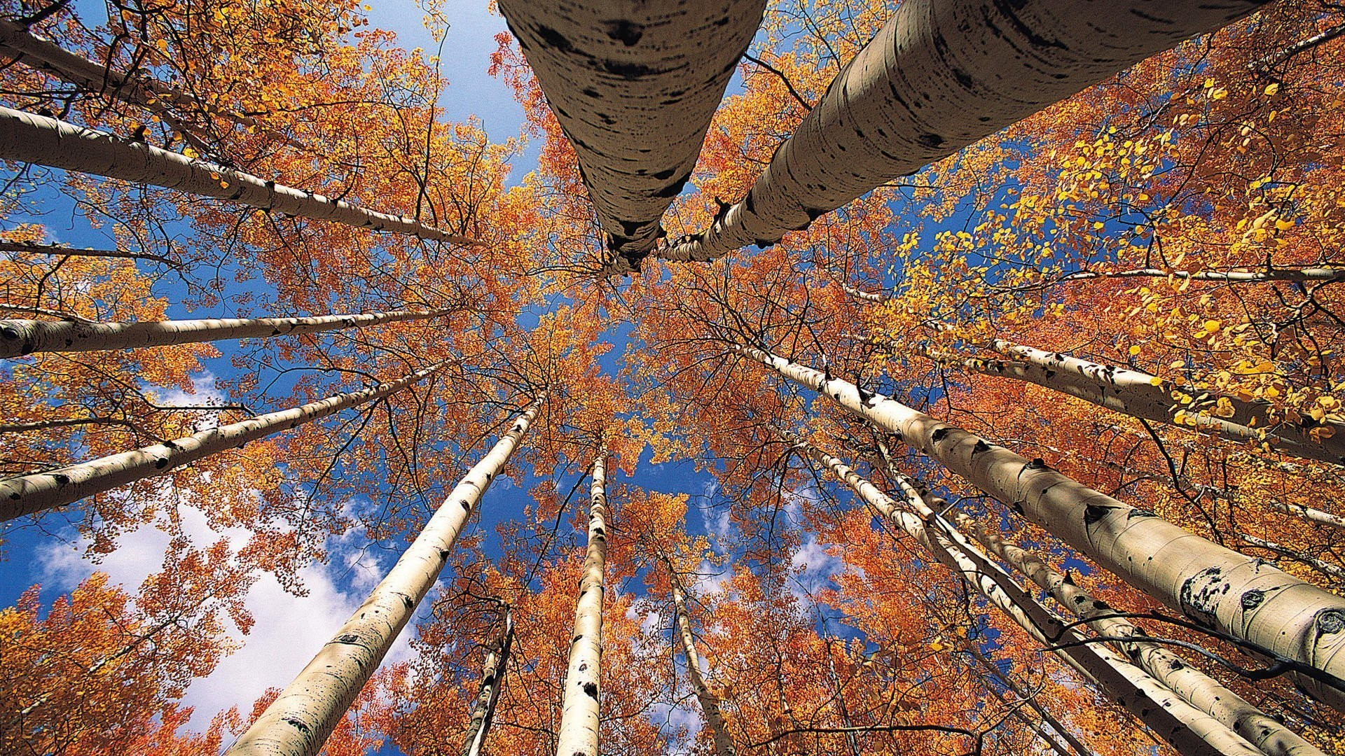 1920x1080 sky tree trunk leaves autumn aspen crown