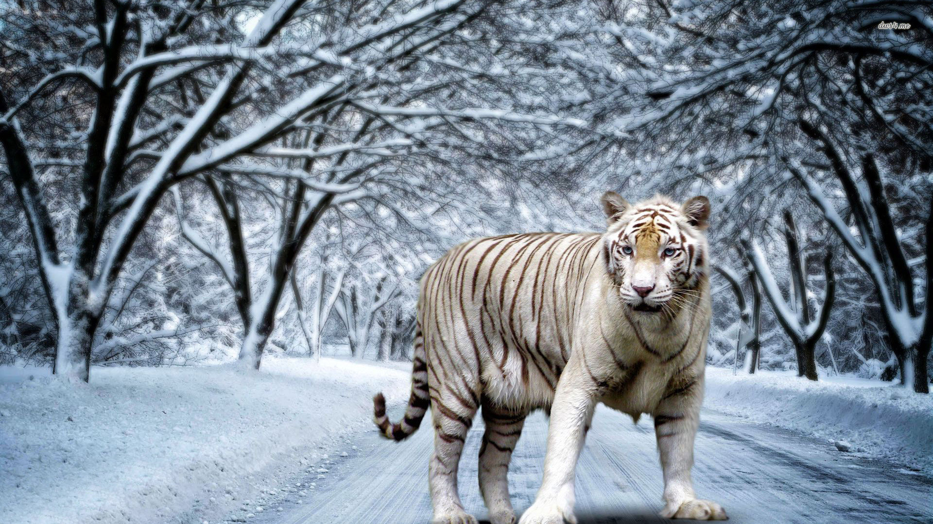 1920x1080 In Gallery Tiger Wallpapers Tiger HD Wallpapers Backgrounds