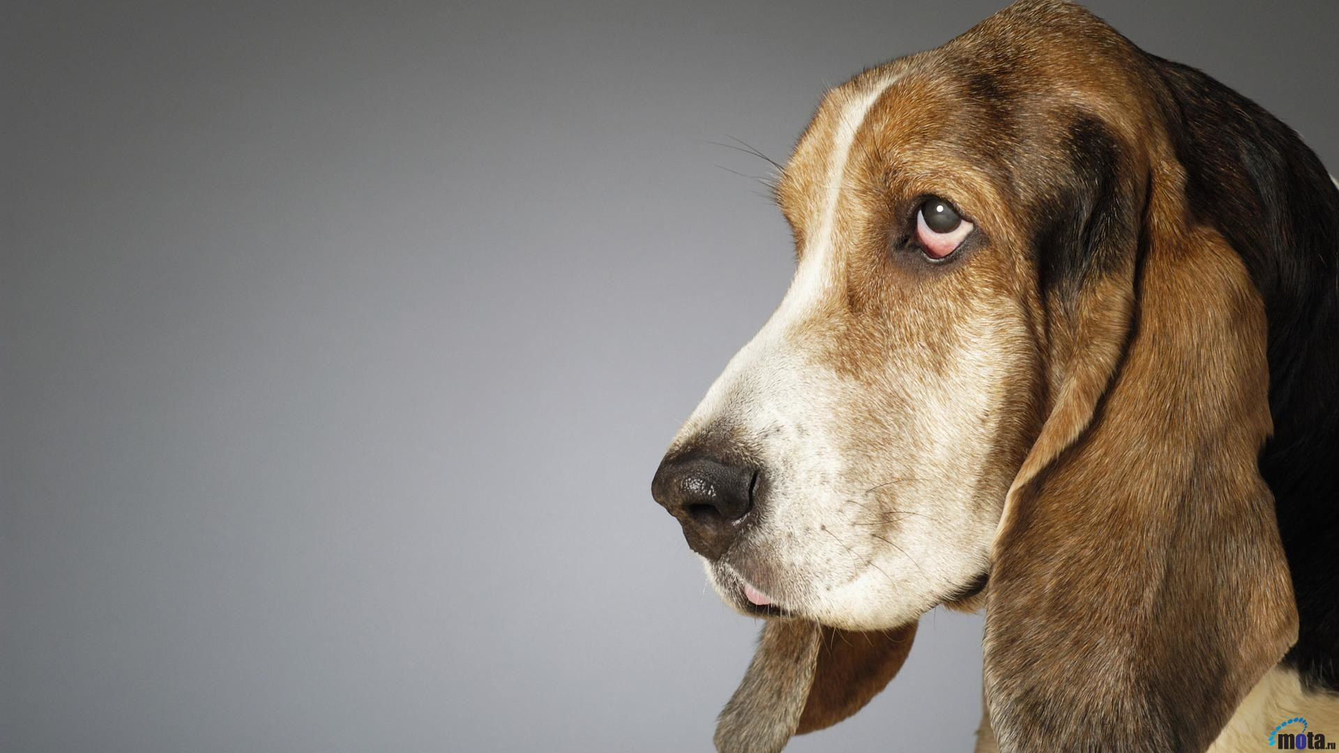1920x1080 Download Wallpaper Side profile of a Basset Hound (1920 x .