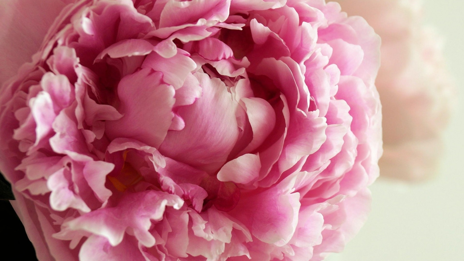 desktop wallpaper peonies (57+ images)