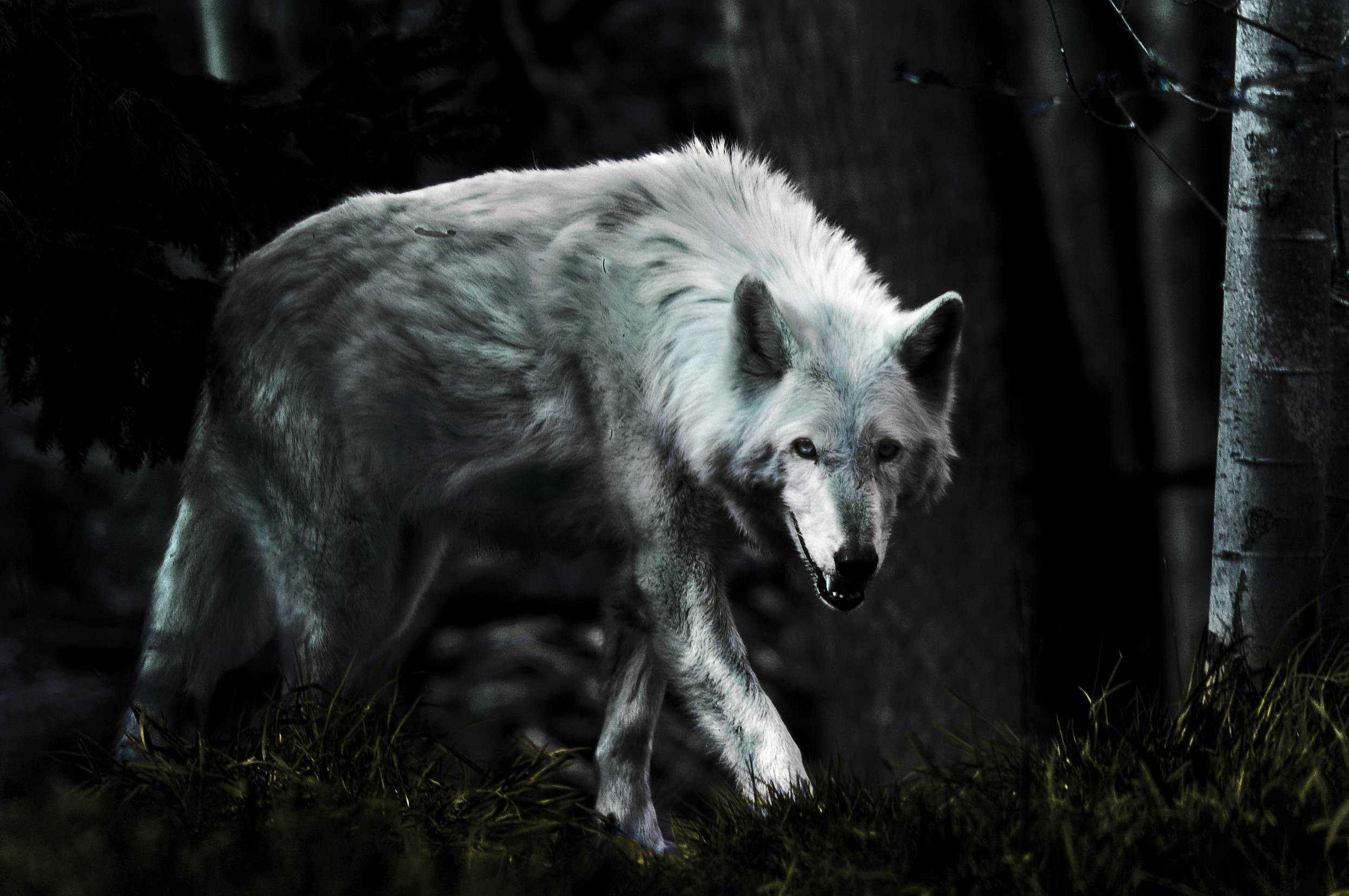 2494x1658 Dark Wolf HD Photo Wallpaper - HD Wallpapers|WallForU.com