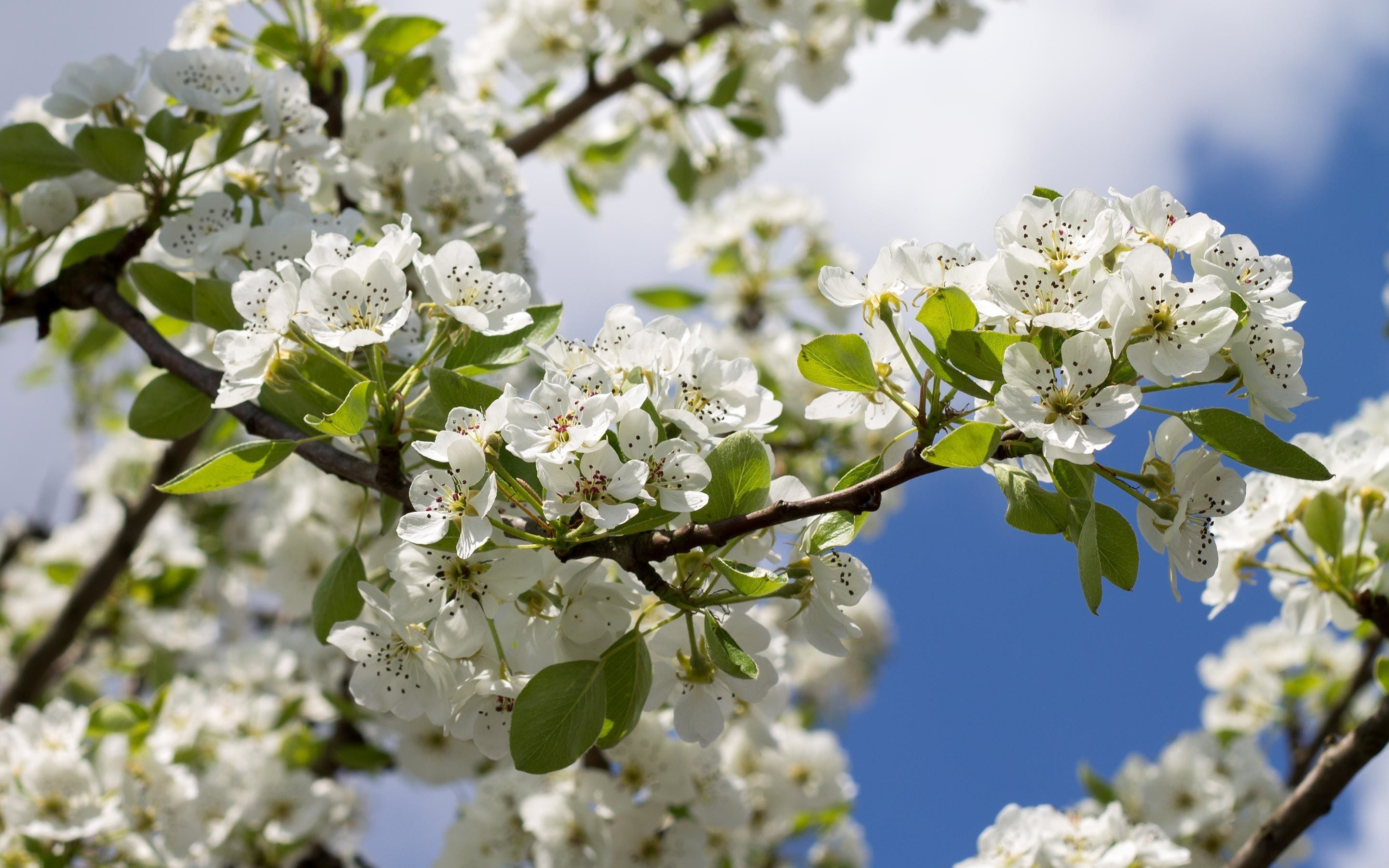 2880x1800 White pear blossoms along the branch
