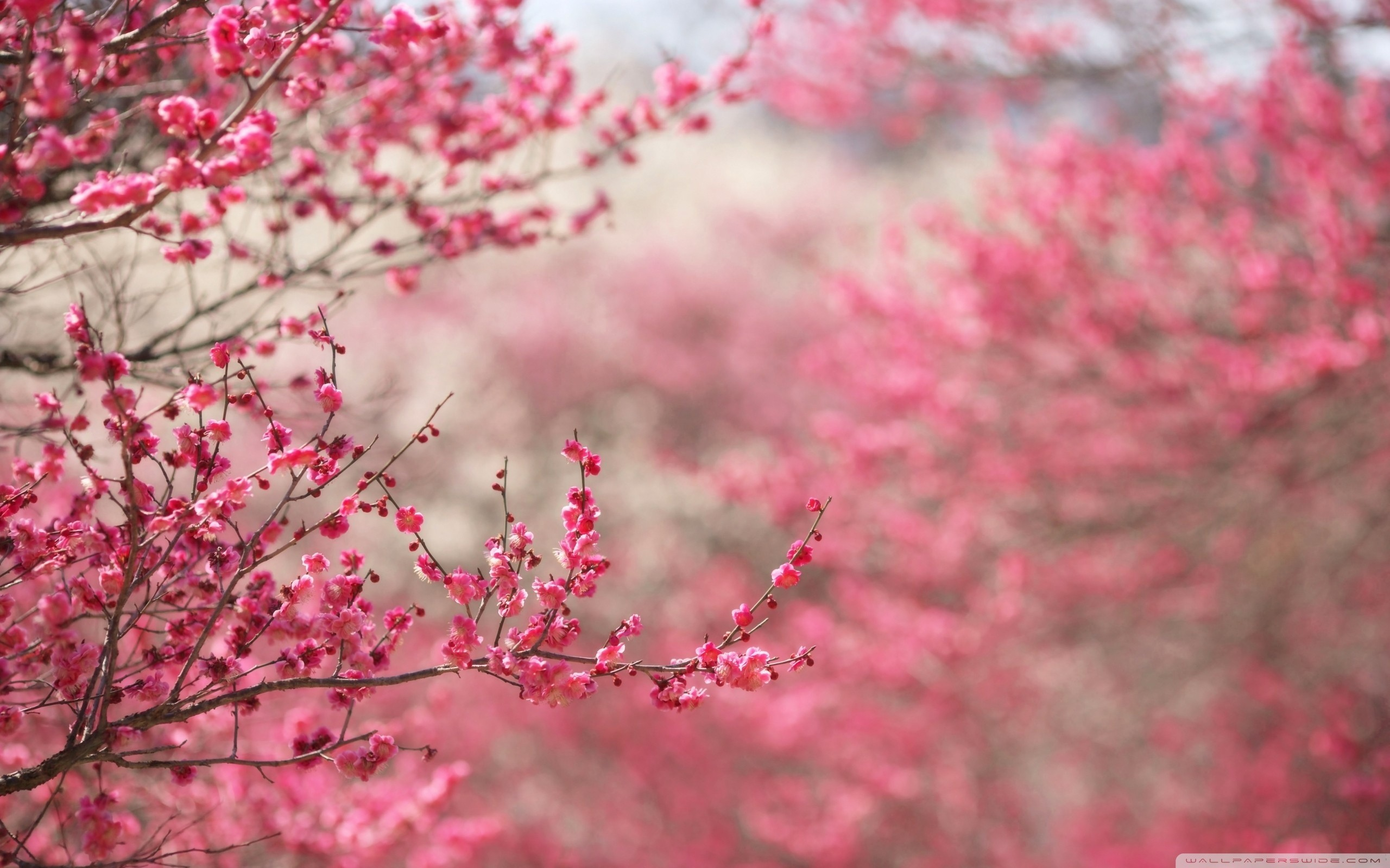 cherry blossom hd wallpaper  71  images