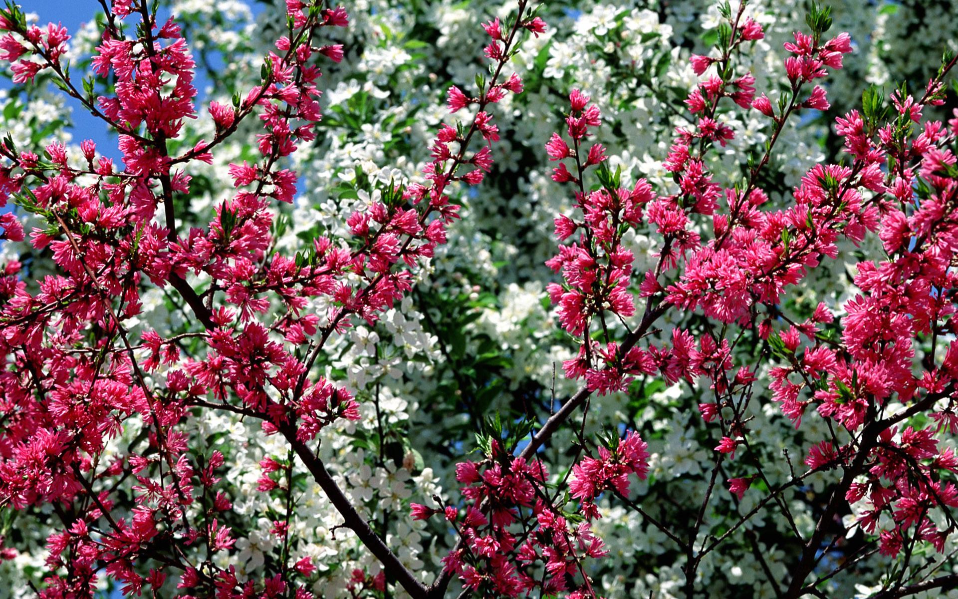 1920x1200 Free Spring Desktop Wallpaper | desktop Free Spring Flowers Wallpaper  Desktop. Free Spring Wallpaper .