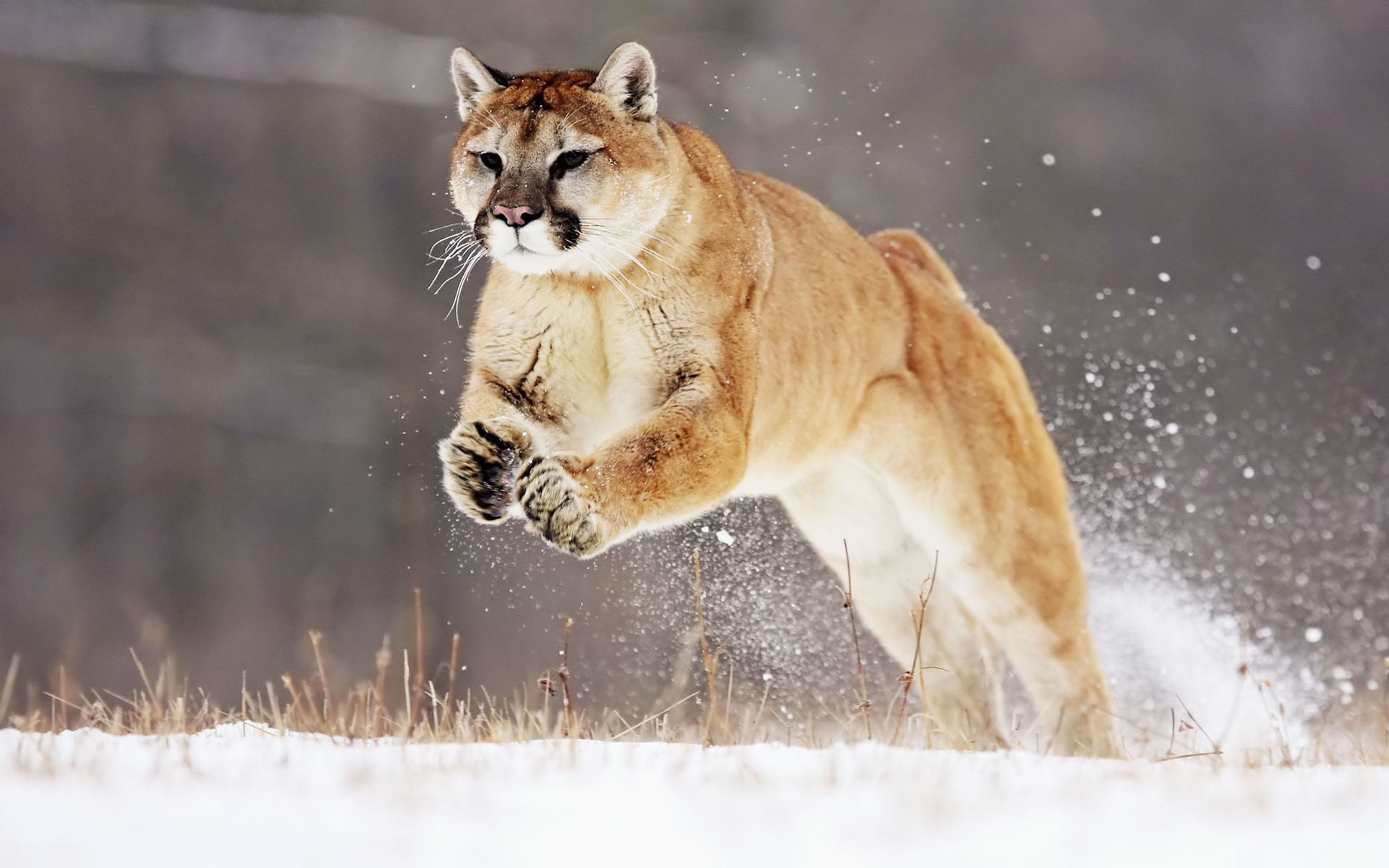 1920x1200 Animal Cats Fresh Desktop Life Mountain Lion 236364 Wallpaper wallpaper