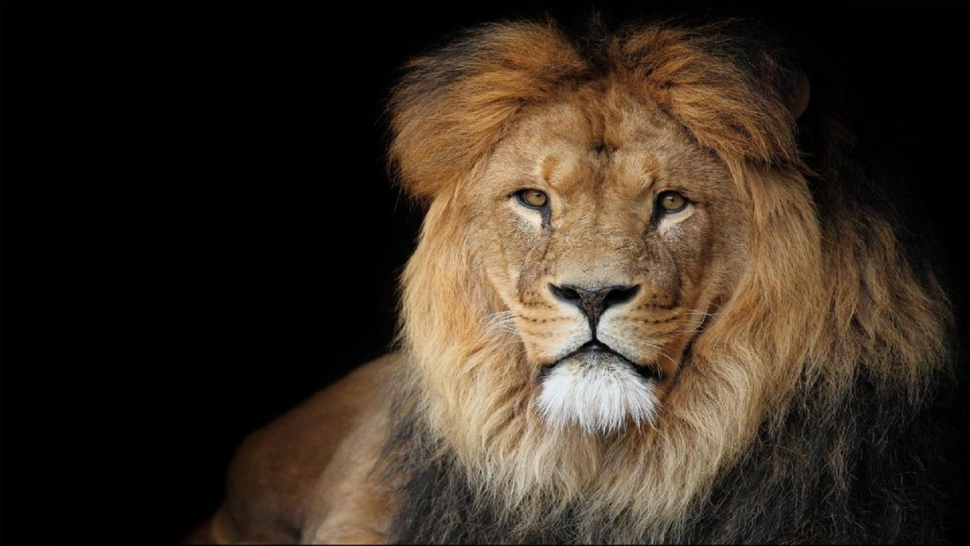 Black Lion Hd Wallpaper 64 Images