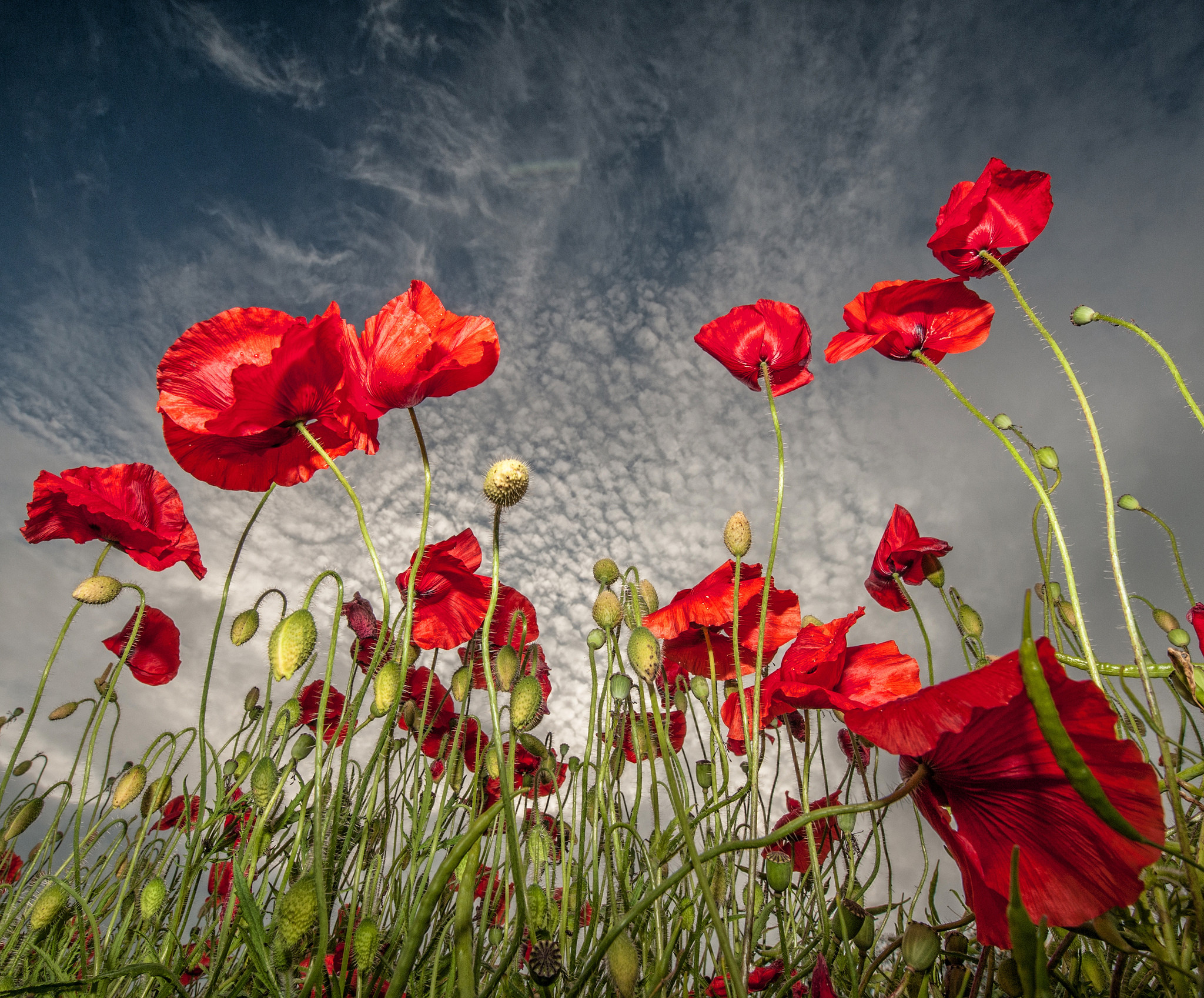 2048x1697 HD Wallpaper | Background Image ID:410020.  Earth Poppy