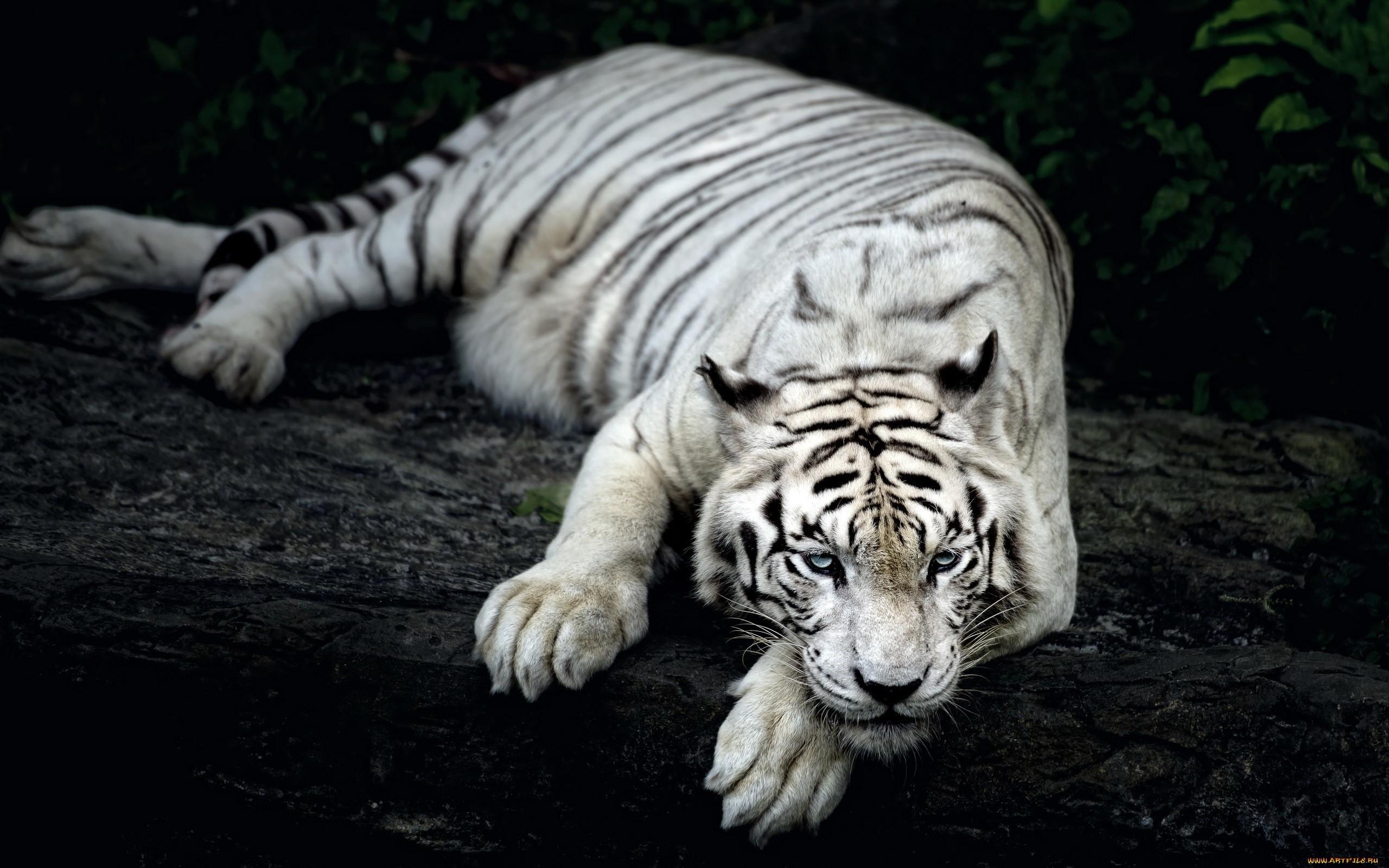 2560x1600 White Tiger Animal