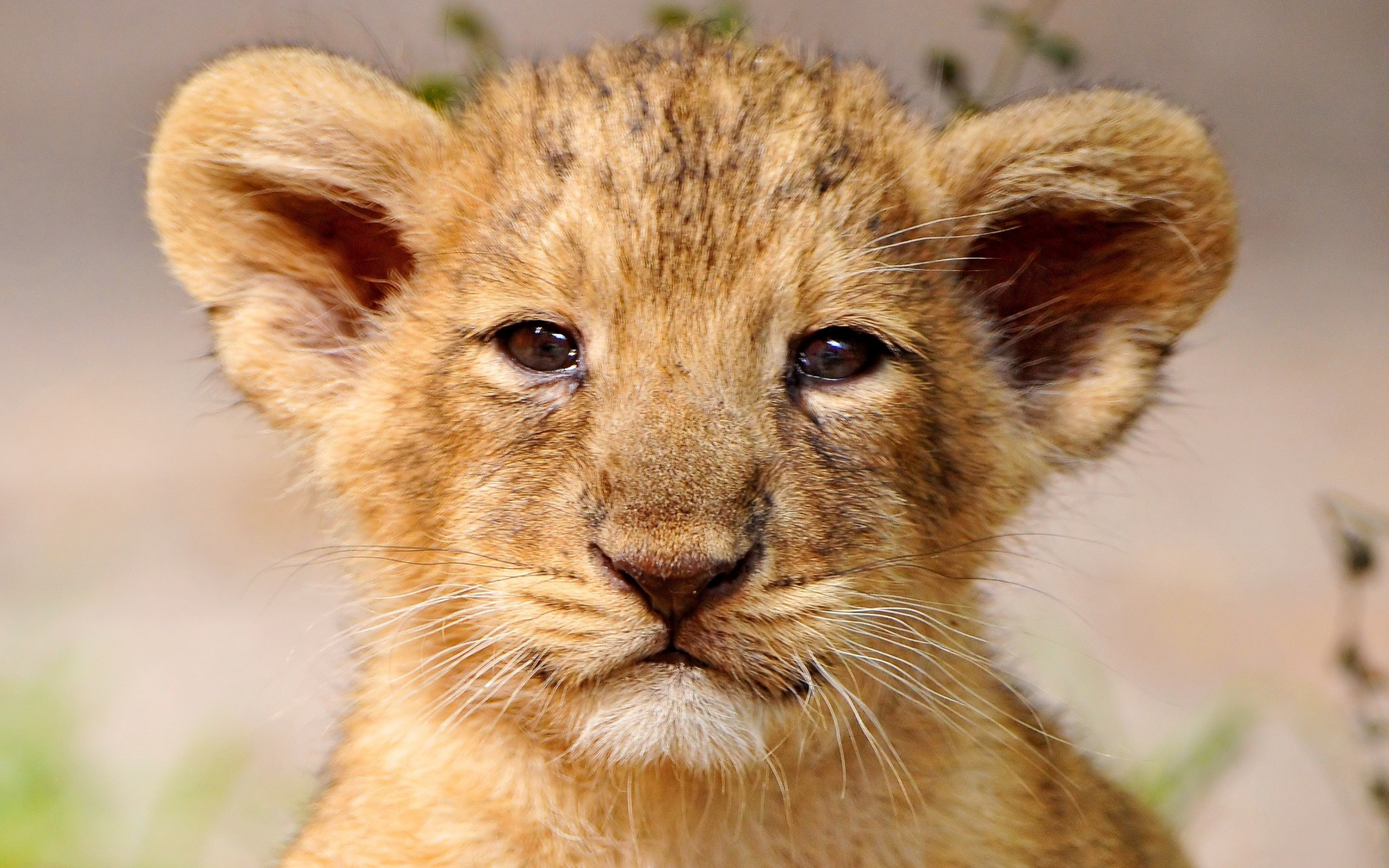 2560x1600 lion cub wallpaper hd. Â«Â«