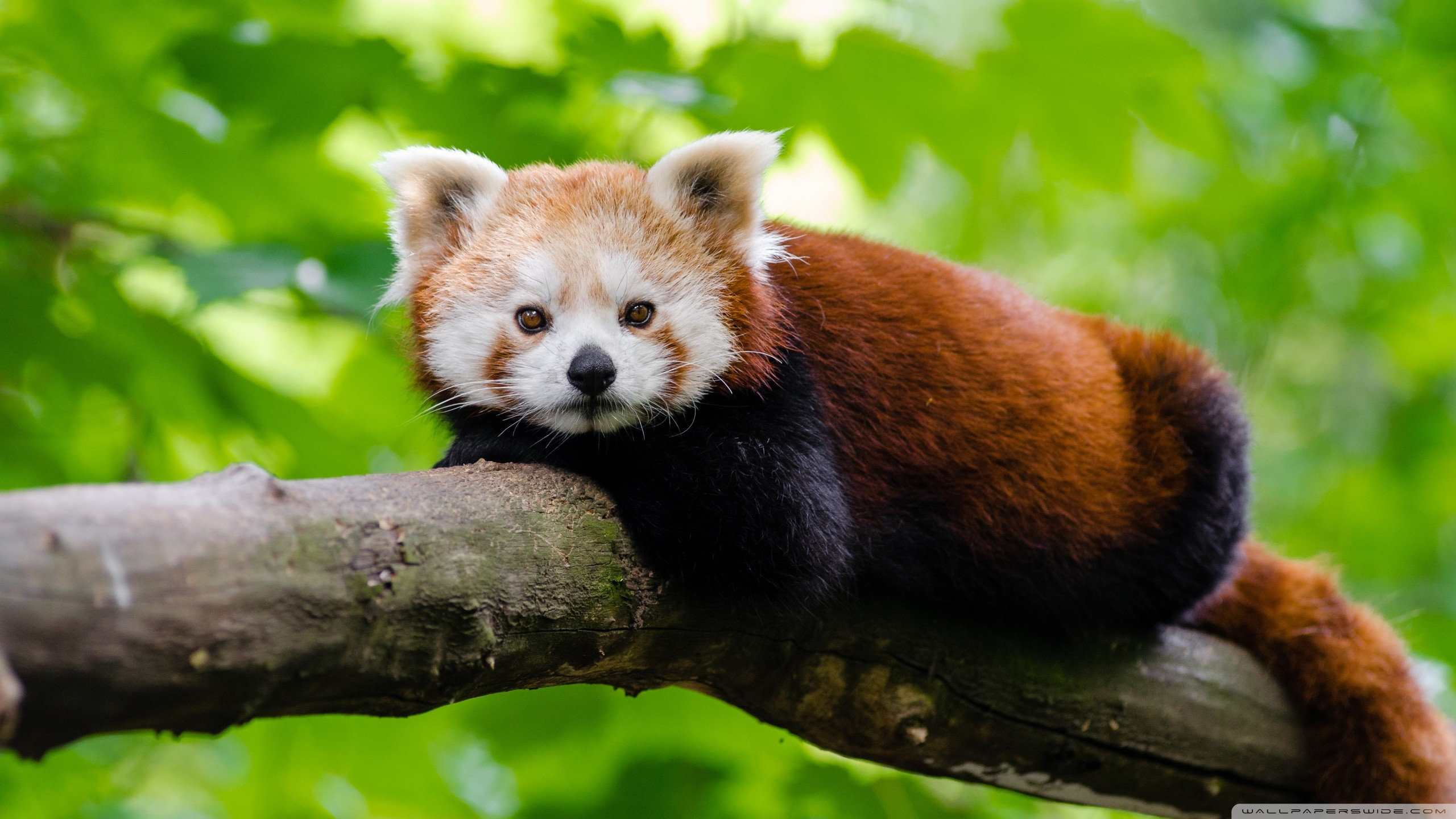 Red Panda Wallpapers (63+ images)