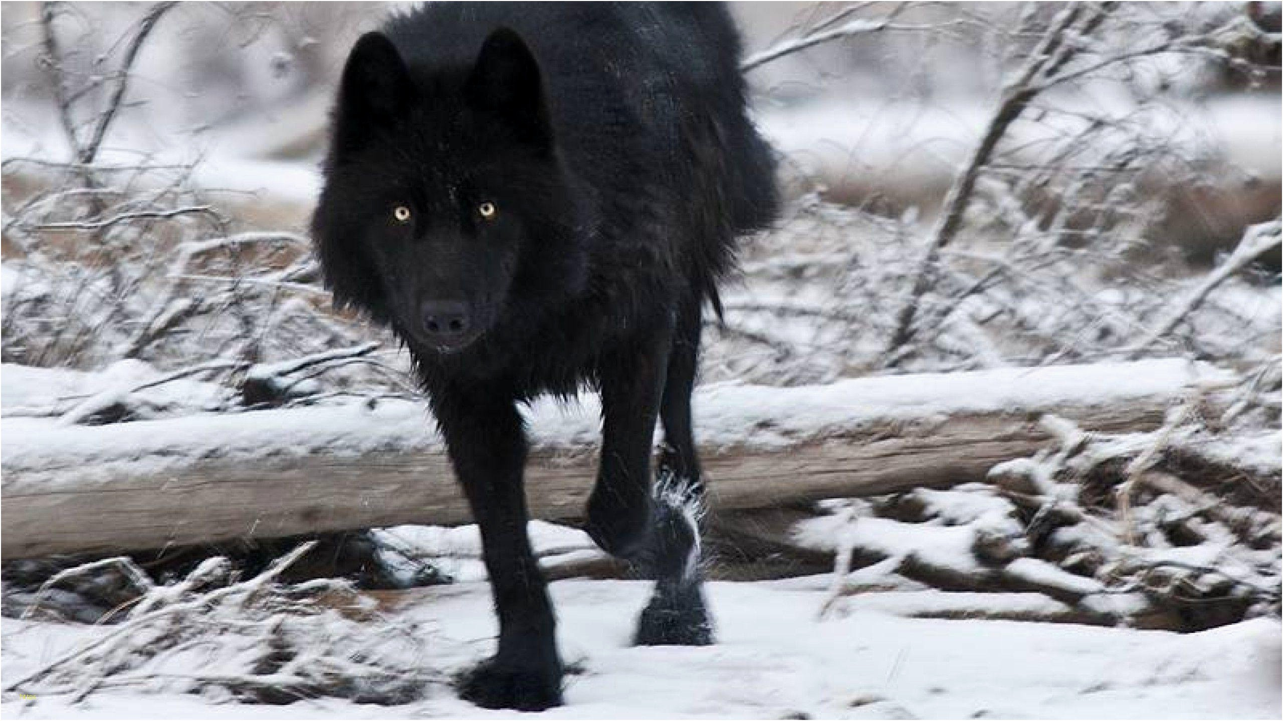 2560x1440 Wolf Wallpaper Beautiful Black Wolf Wallpapers Wallpaper Cave