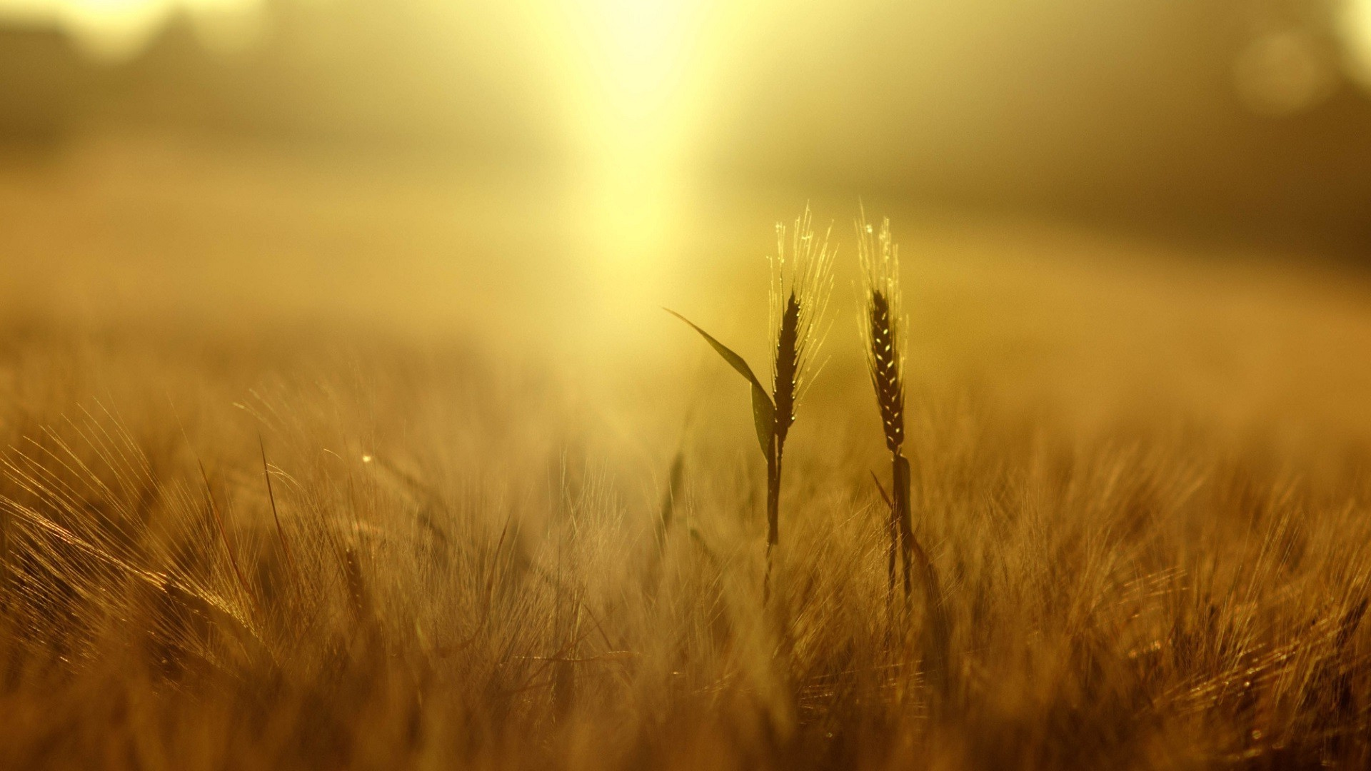 1920x1080 wheat, Plants, Nature, Field, Depth Of Field, Yellow, Spikelets, Sunlight  Wallpapers HD / Desktop and Mobile Backgrounds