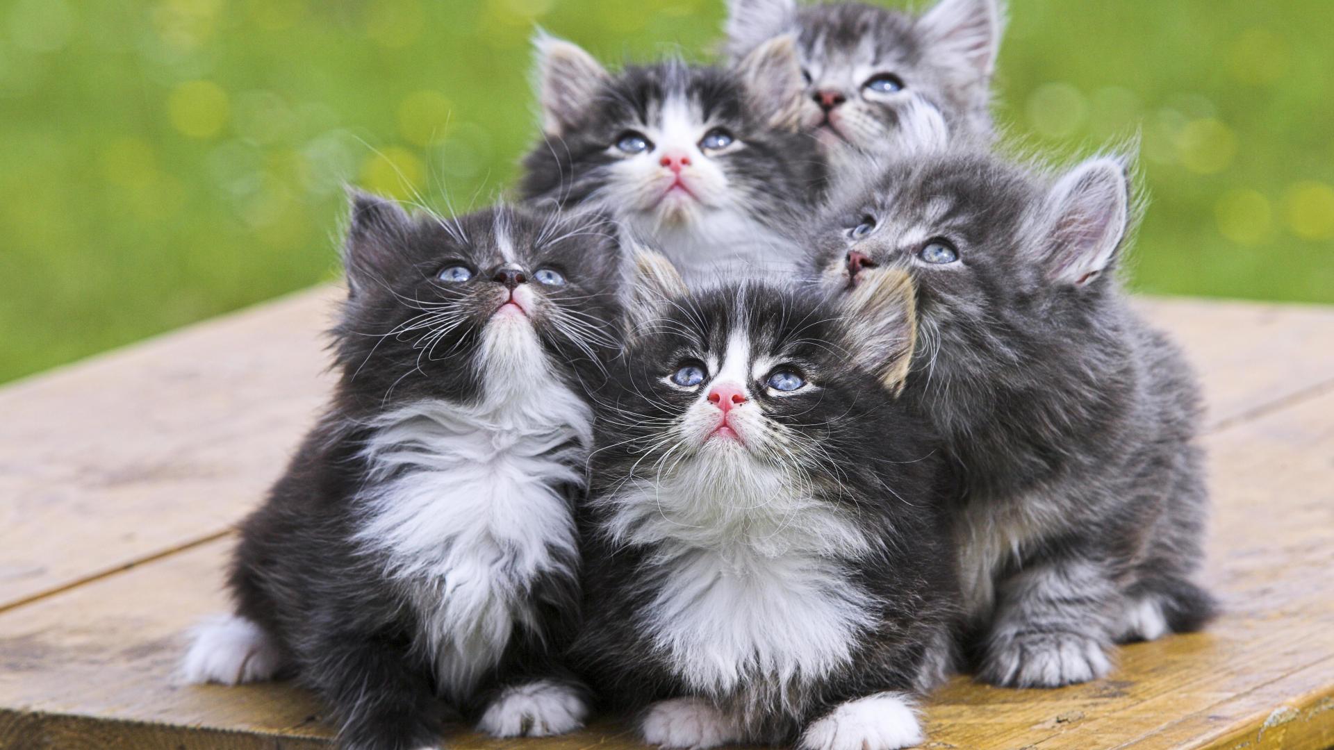 Kittens screensavers wallpaper