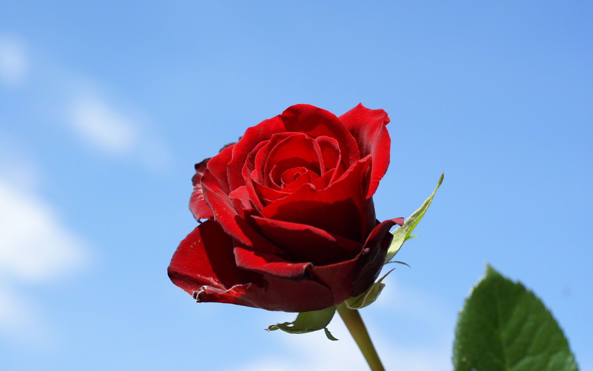 1920x1200 Single rose with blue sky background