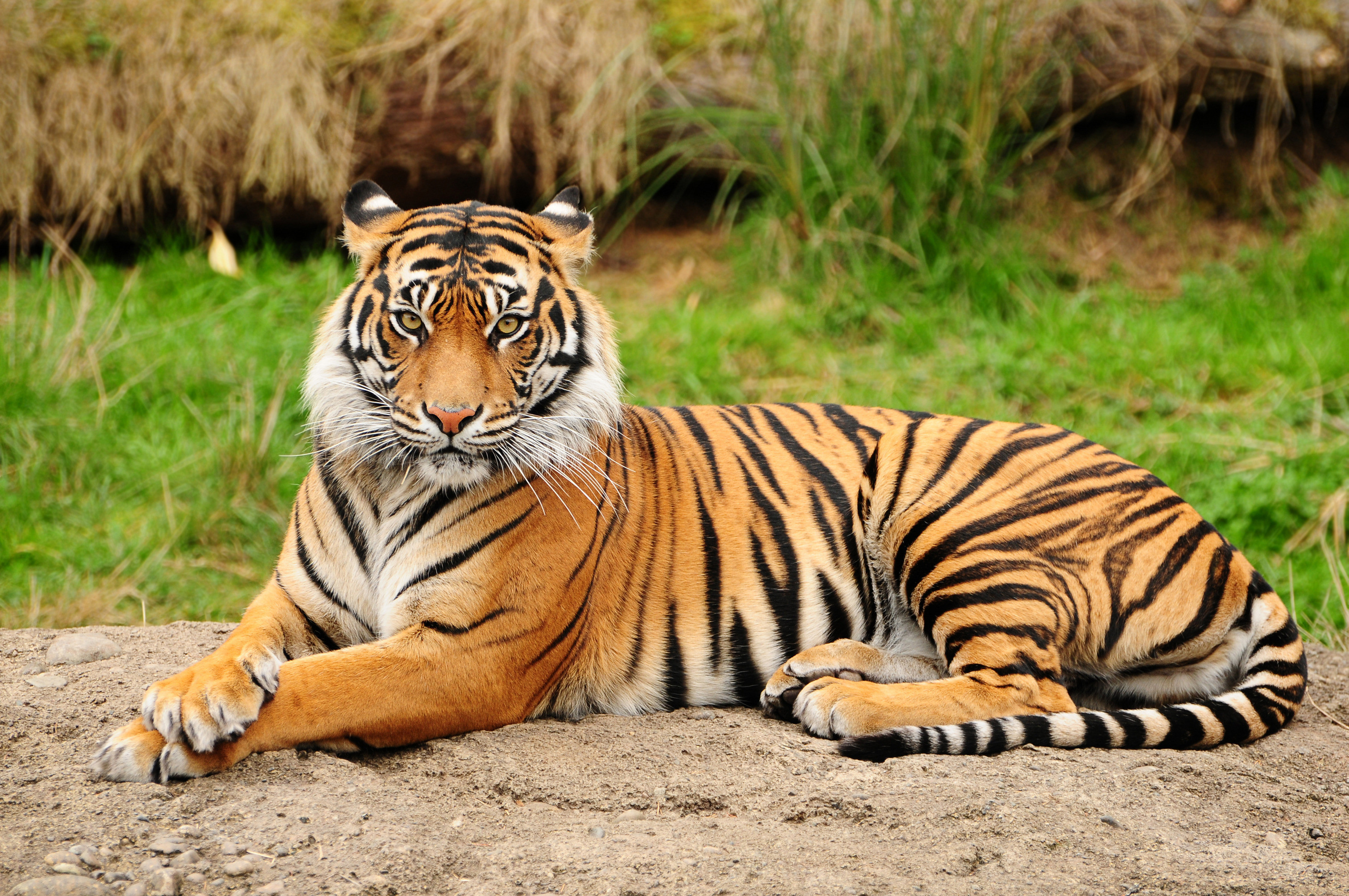 3011x2000 1239 Tiger HD Wallpapers | Backgrounds - Wallpaper Abyss ...