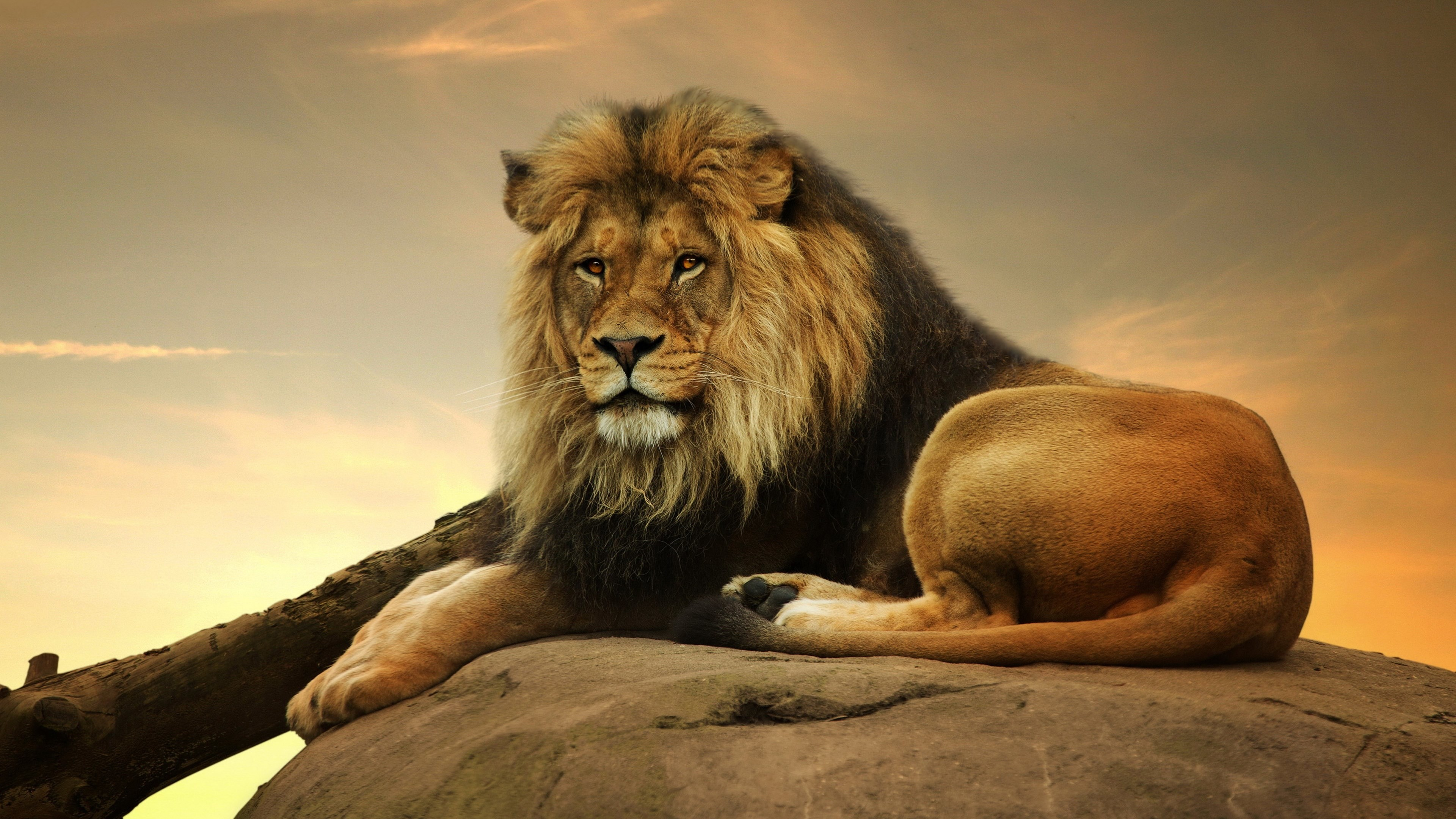 3840x2160 male lion 4k resolution desktop wallpaper