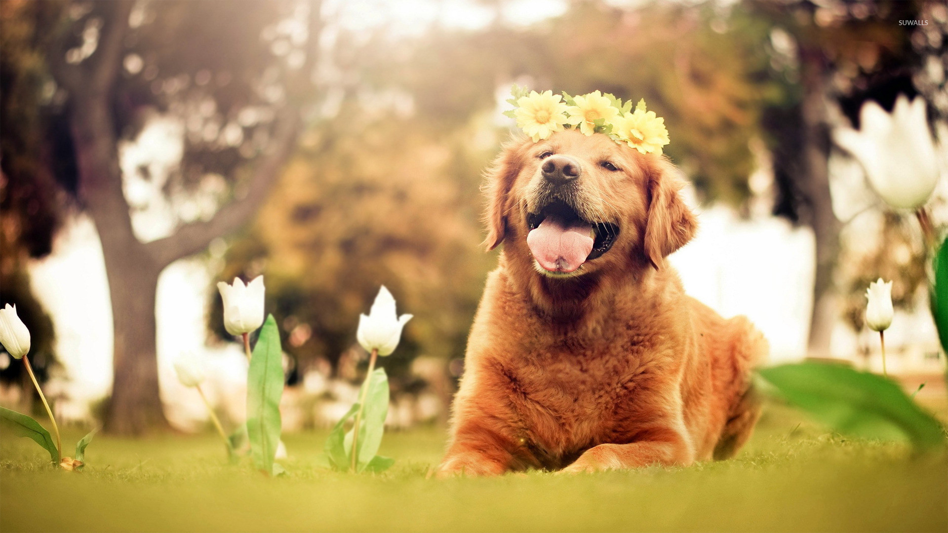 Golden Retriever Wallpaper 77 Images