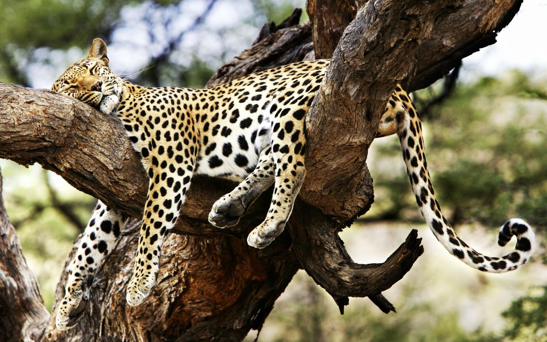 Cute cheetah wallpaper 58 images 1920x1200 sleeping cheetah voltagebd Image collections
