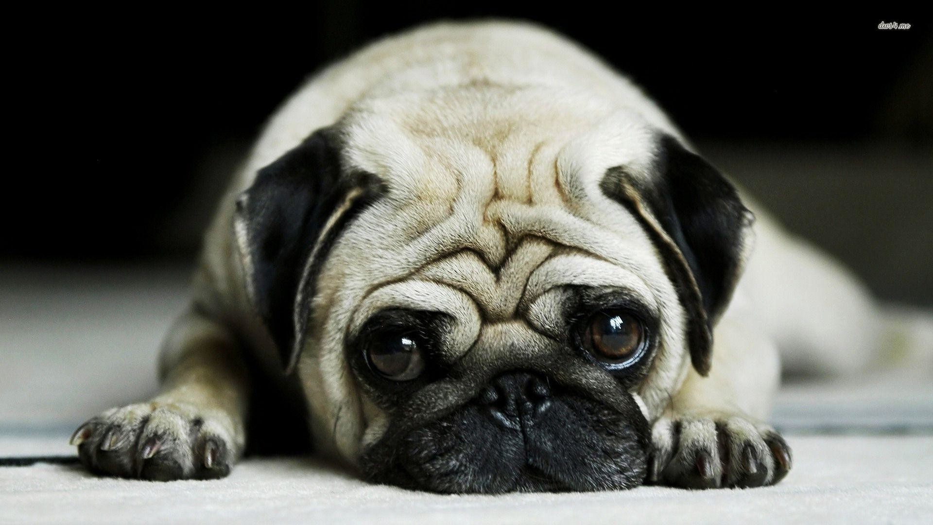 1920x1080 Images For > Cute Pug Wallpaper