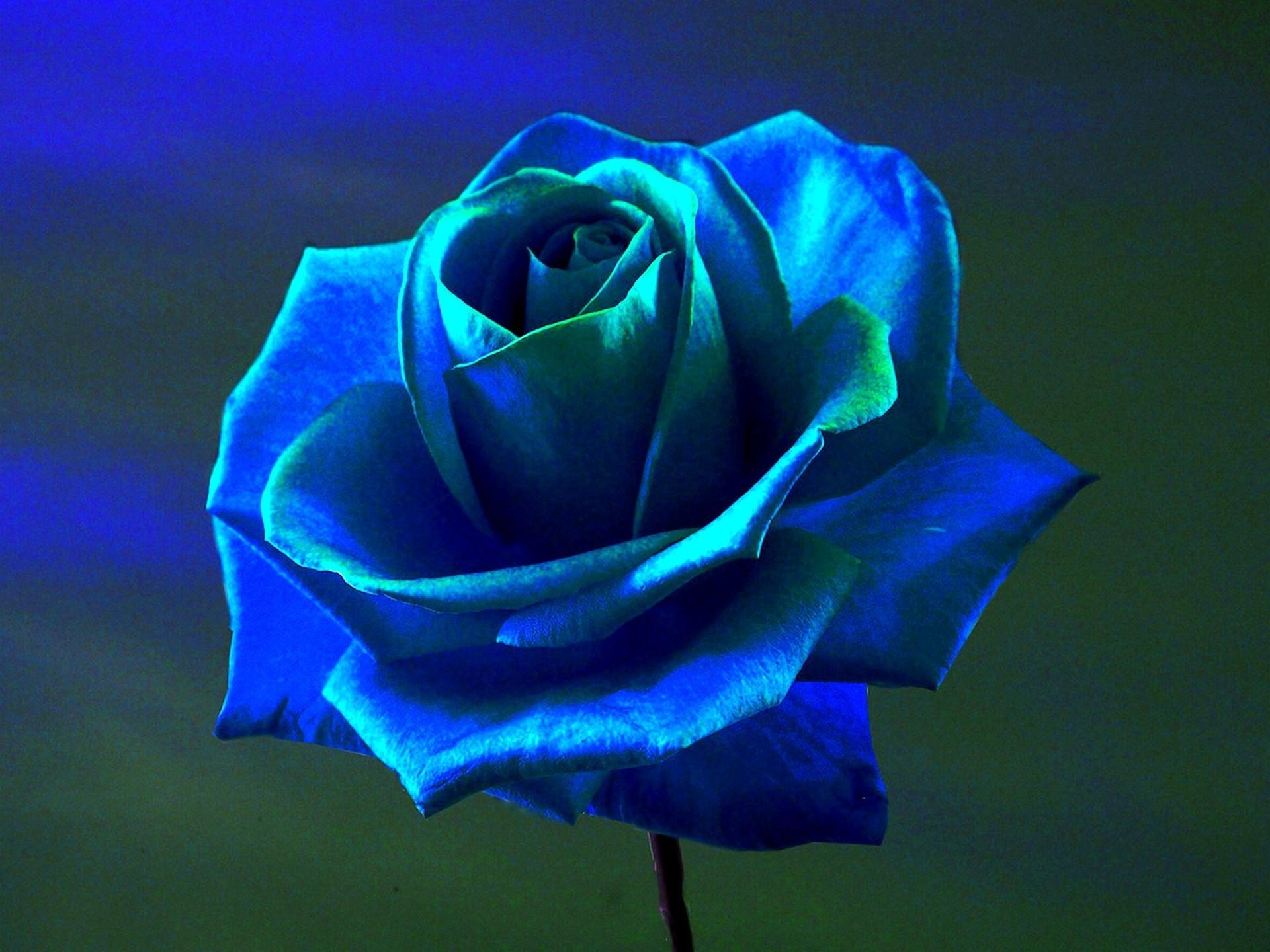 Blue Roses Wallpaper (58+ Images