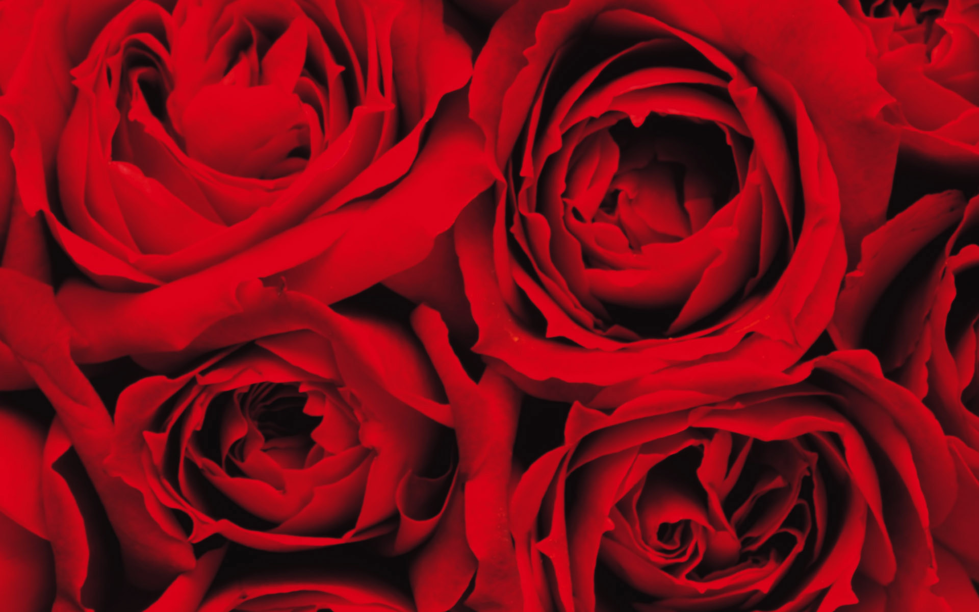 1920x1200 Latest Red Pink Roses Flowers HD Wallpapers and Backgrounds